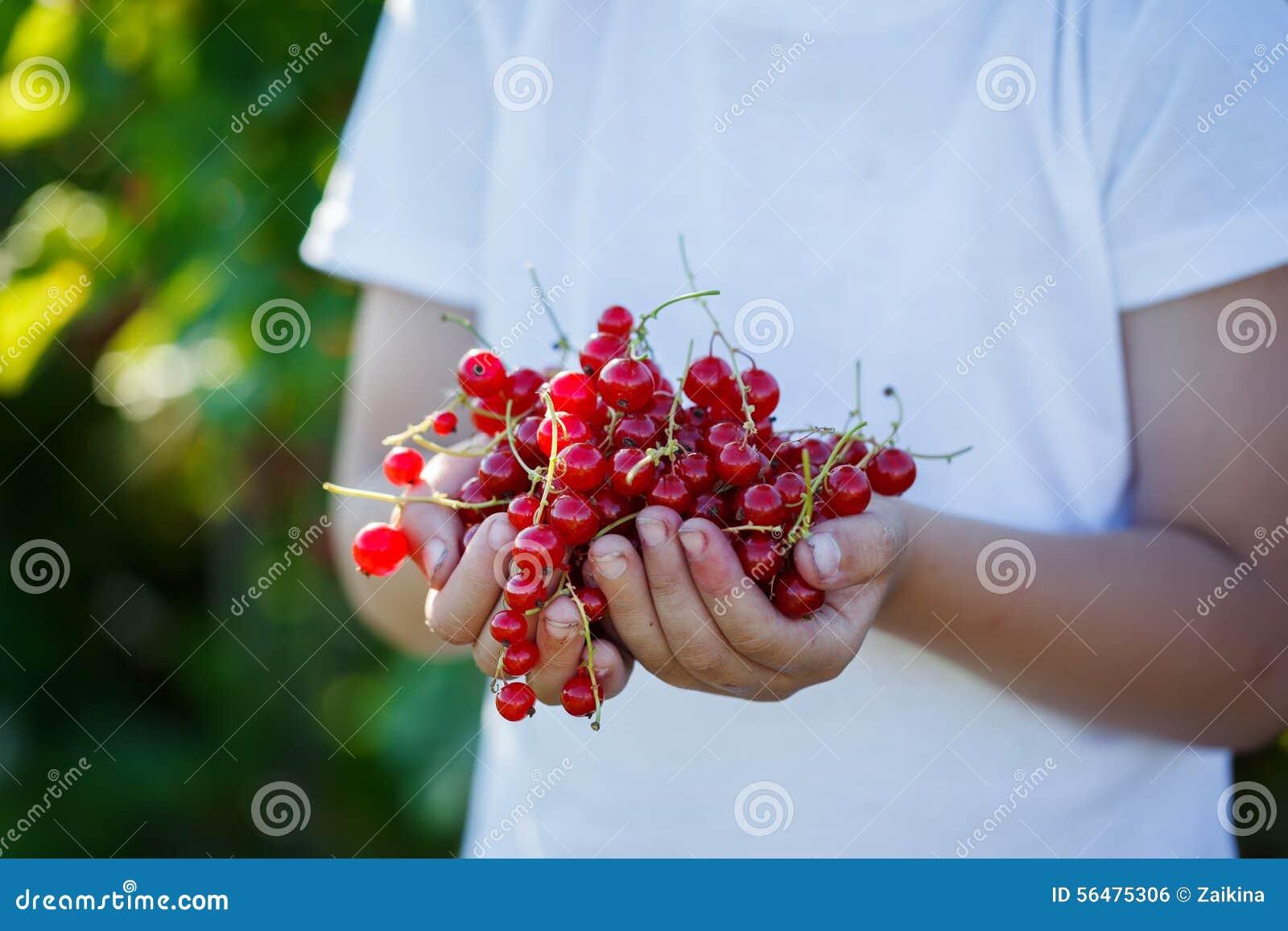 Fraîchement fruits de groseille rouge dans les mains d un garçon