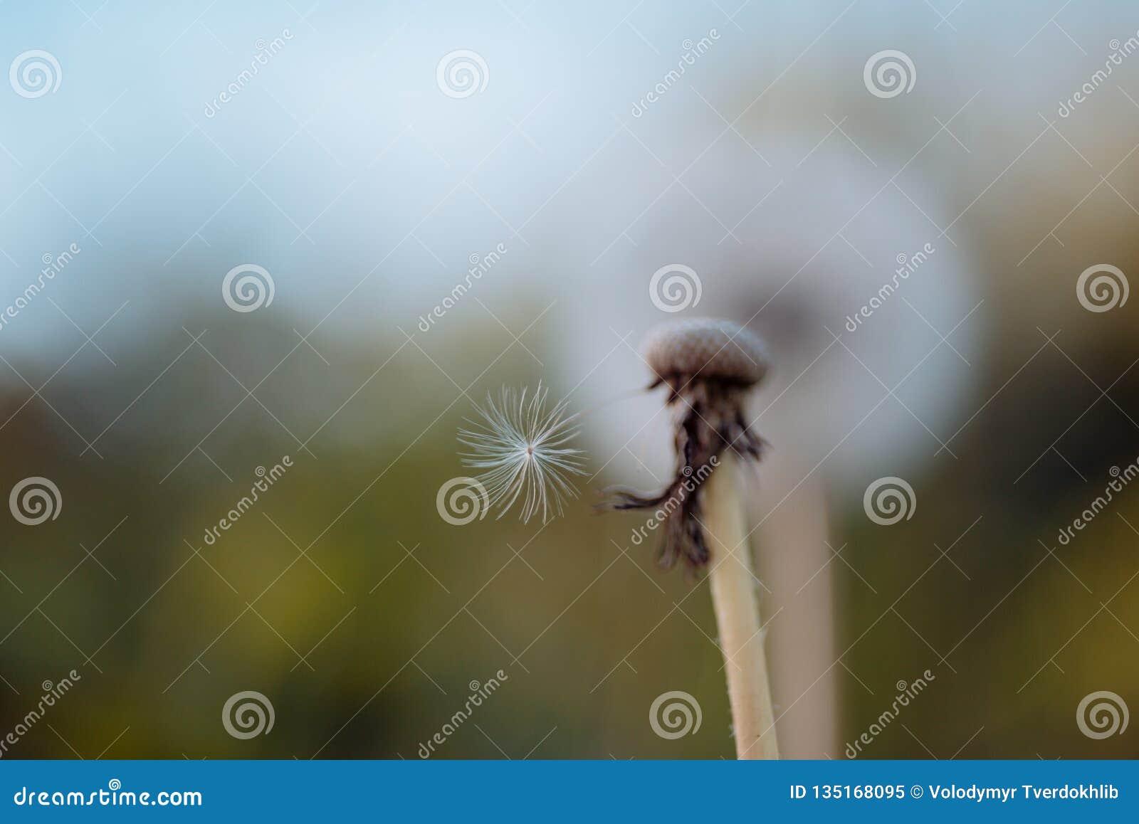Fragility Sementes de flor do dente-de-leão que fundem afastado Dente-de-leão selvagem no dia de verão Flor do Taraxacum na paisa