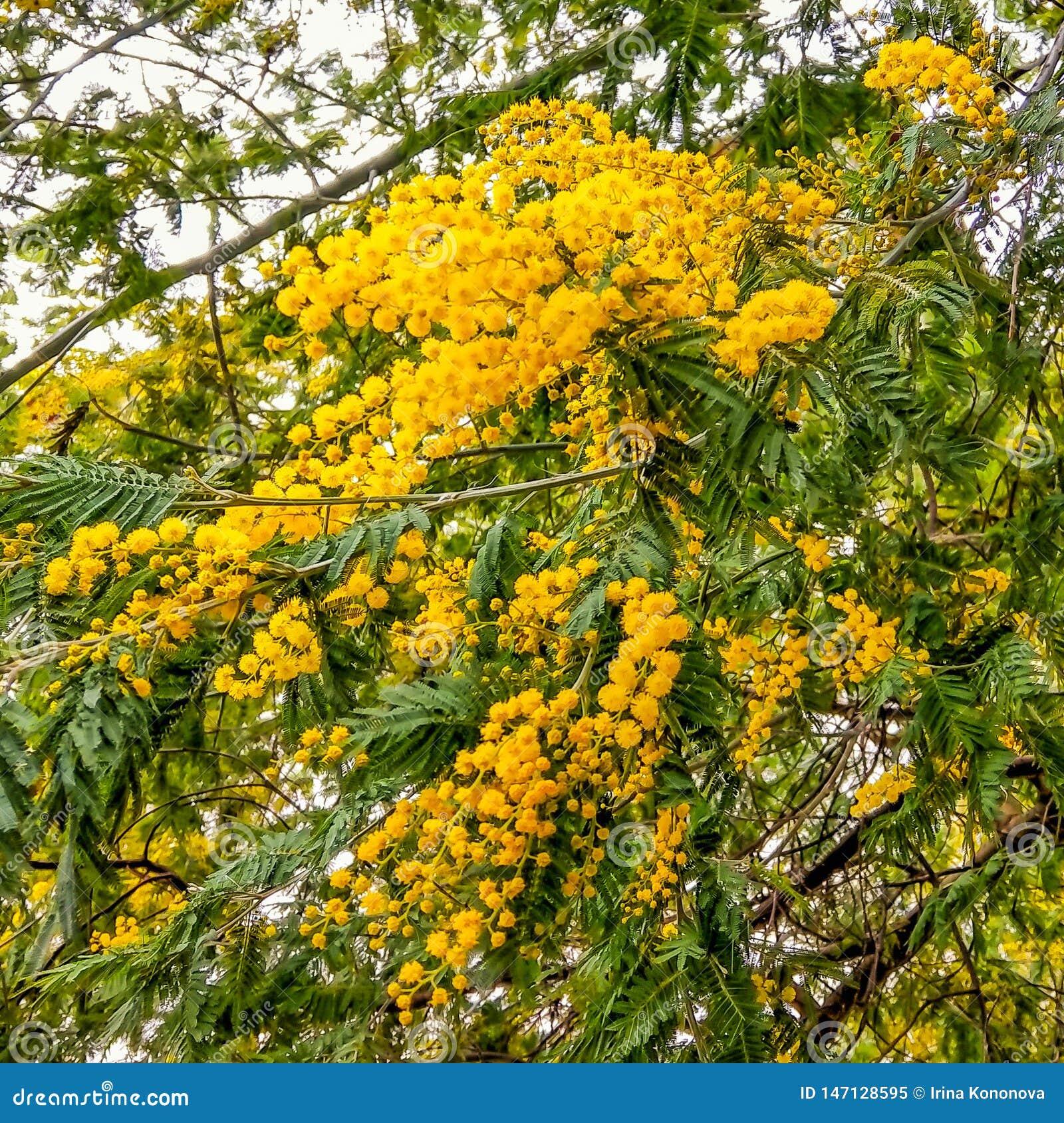 Fragment eines Busches einer Mimose mit den entlassenen gelben Blumen Nahaufnahme