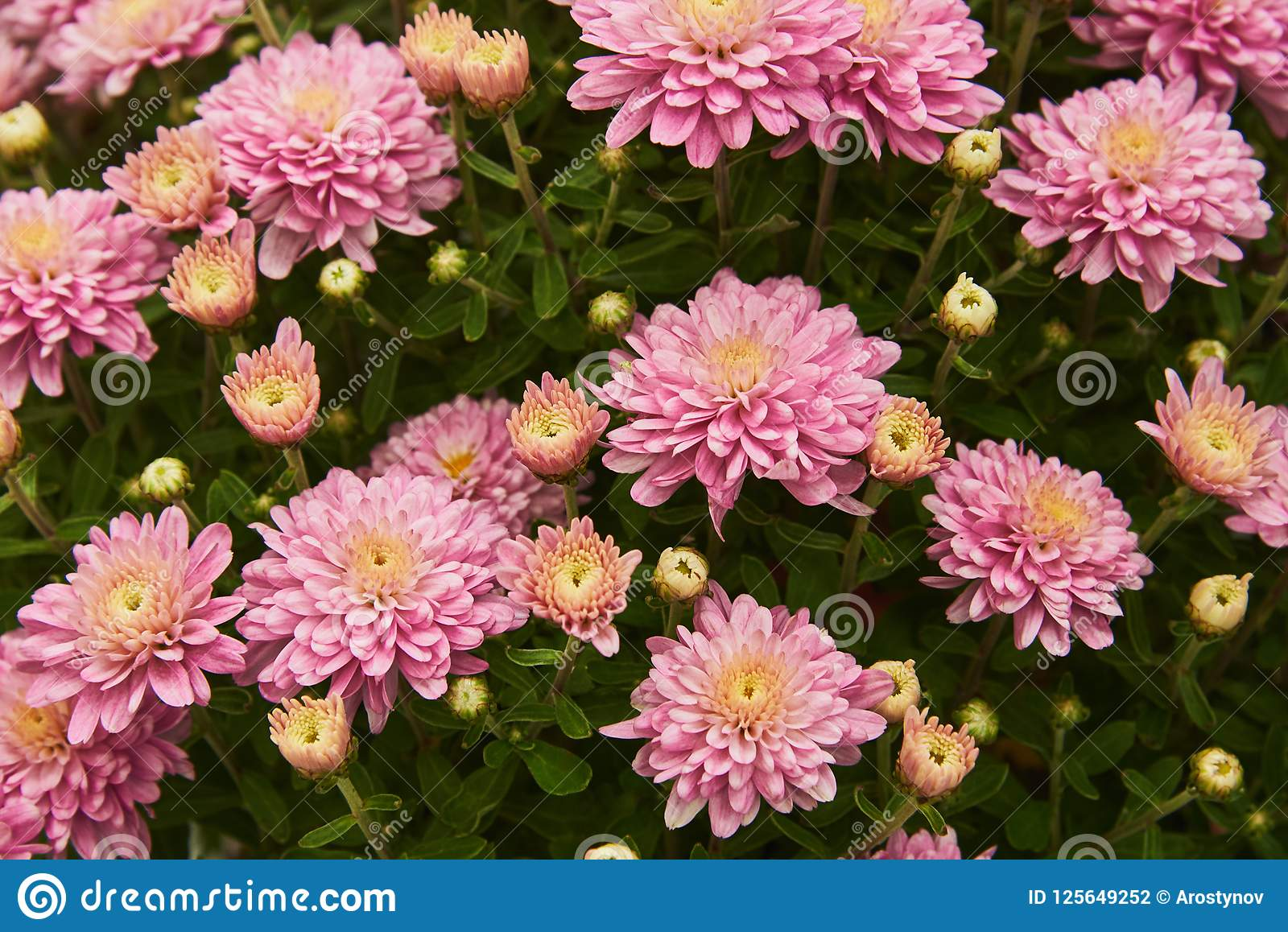 Fragment Of A Large Bush Of Chrysanthemum With Pink Flowers Stock