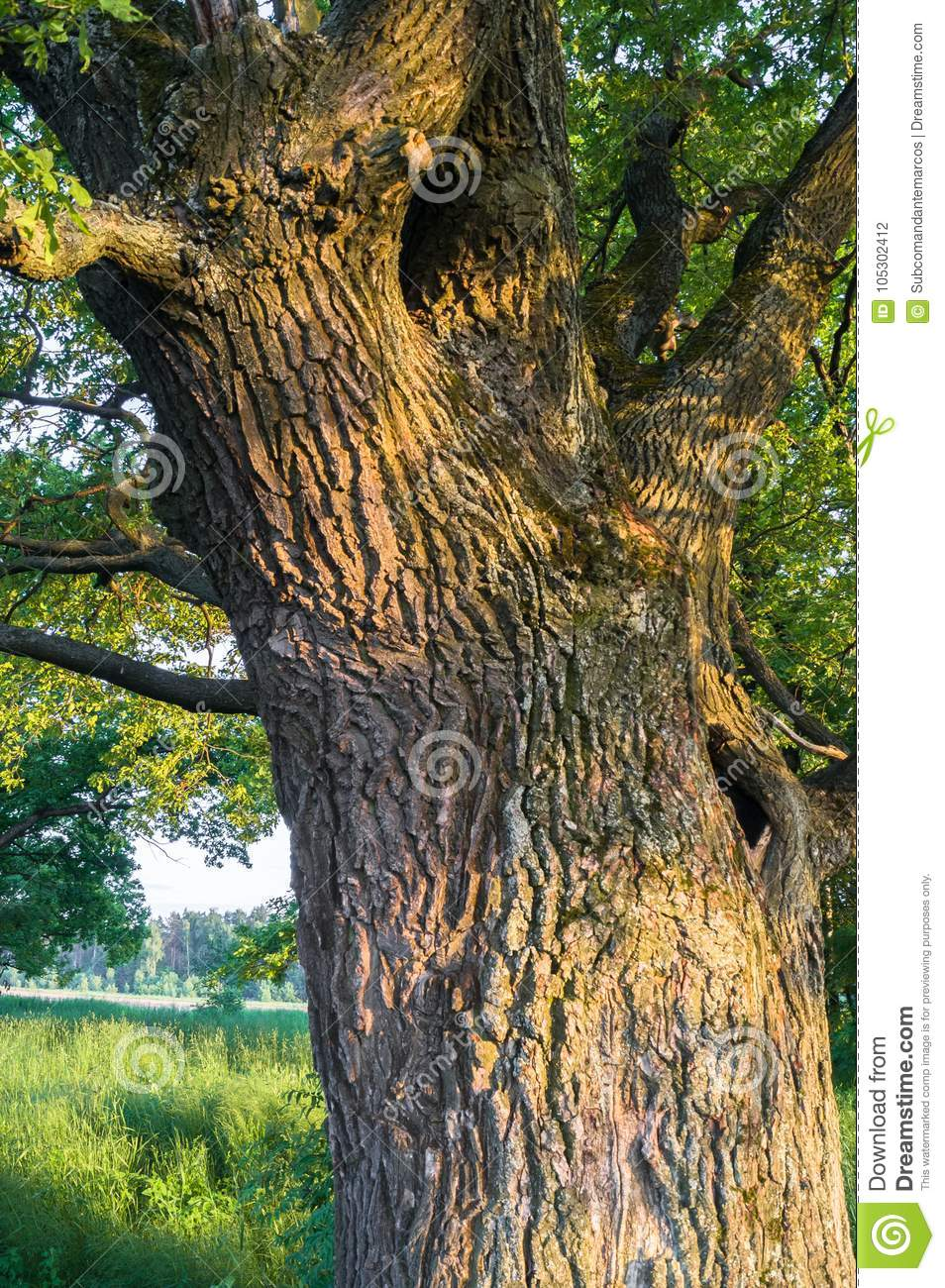 Fragment of the trunk of a relic oak tree near Biserovo village, Russia.