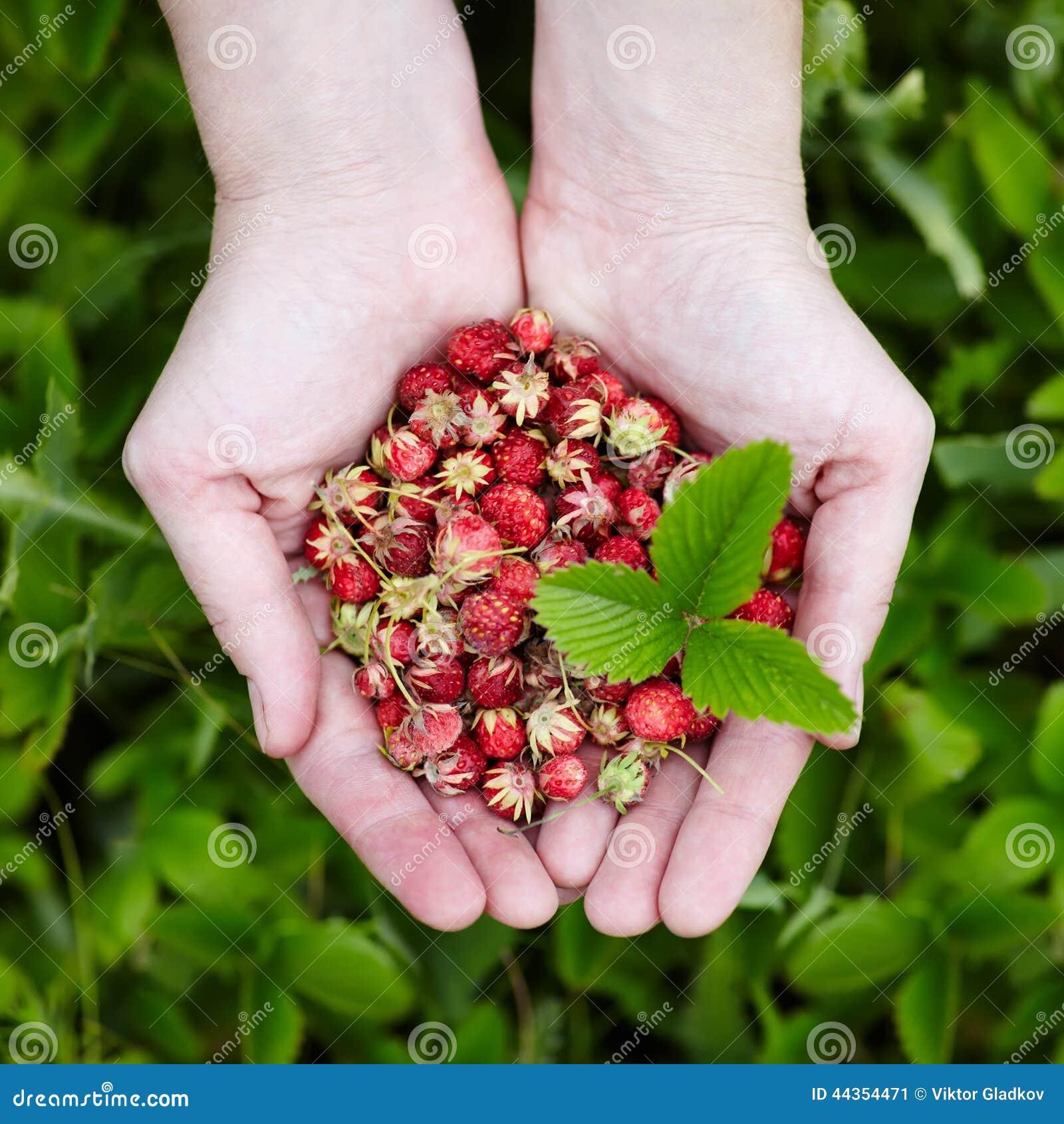 Fragole della foresta nelle mani