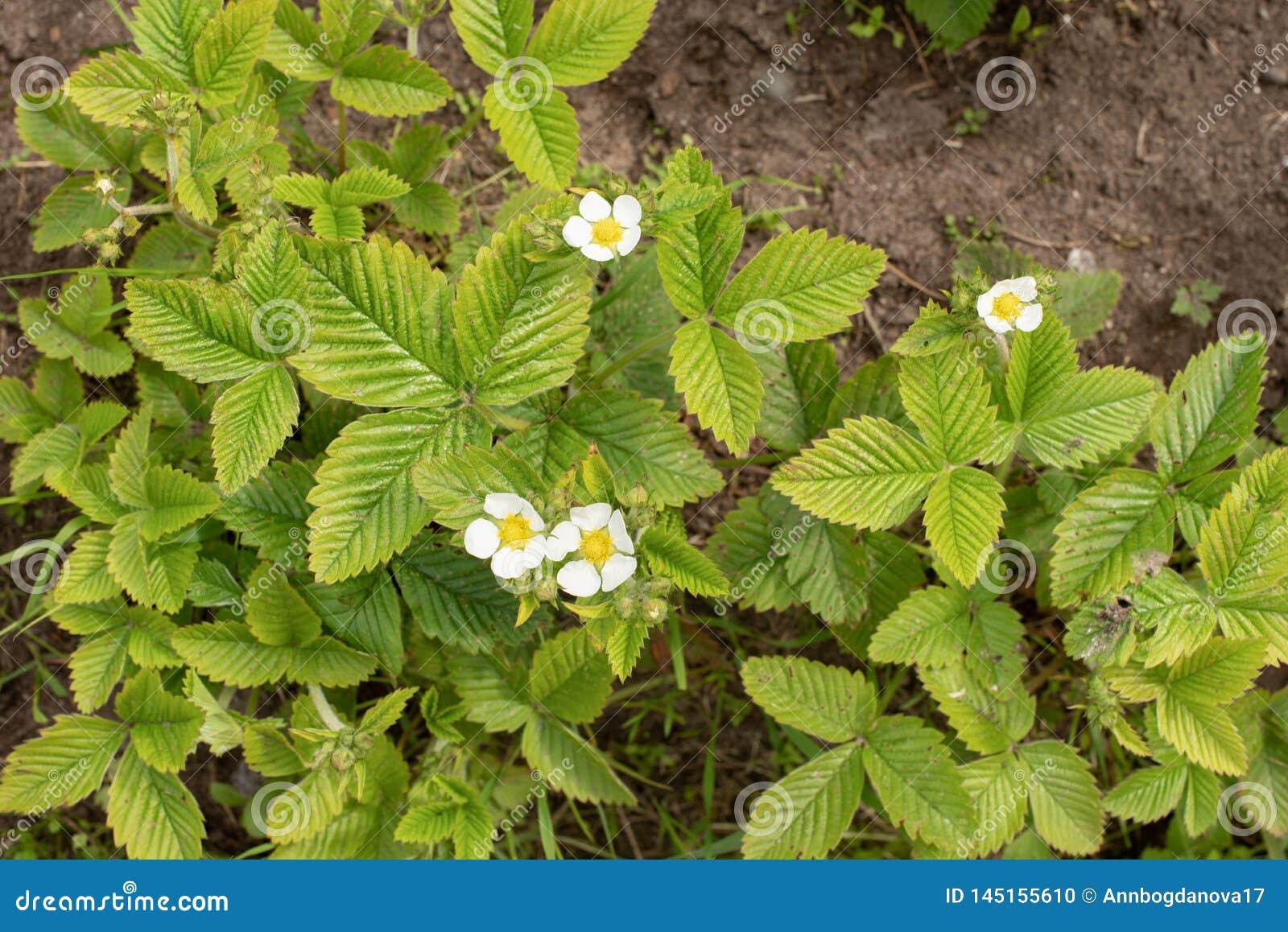 Fragole di fioritura in primavera