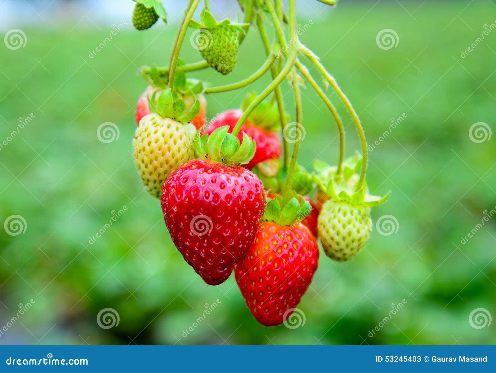 Fragole in frutteto