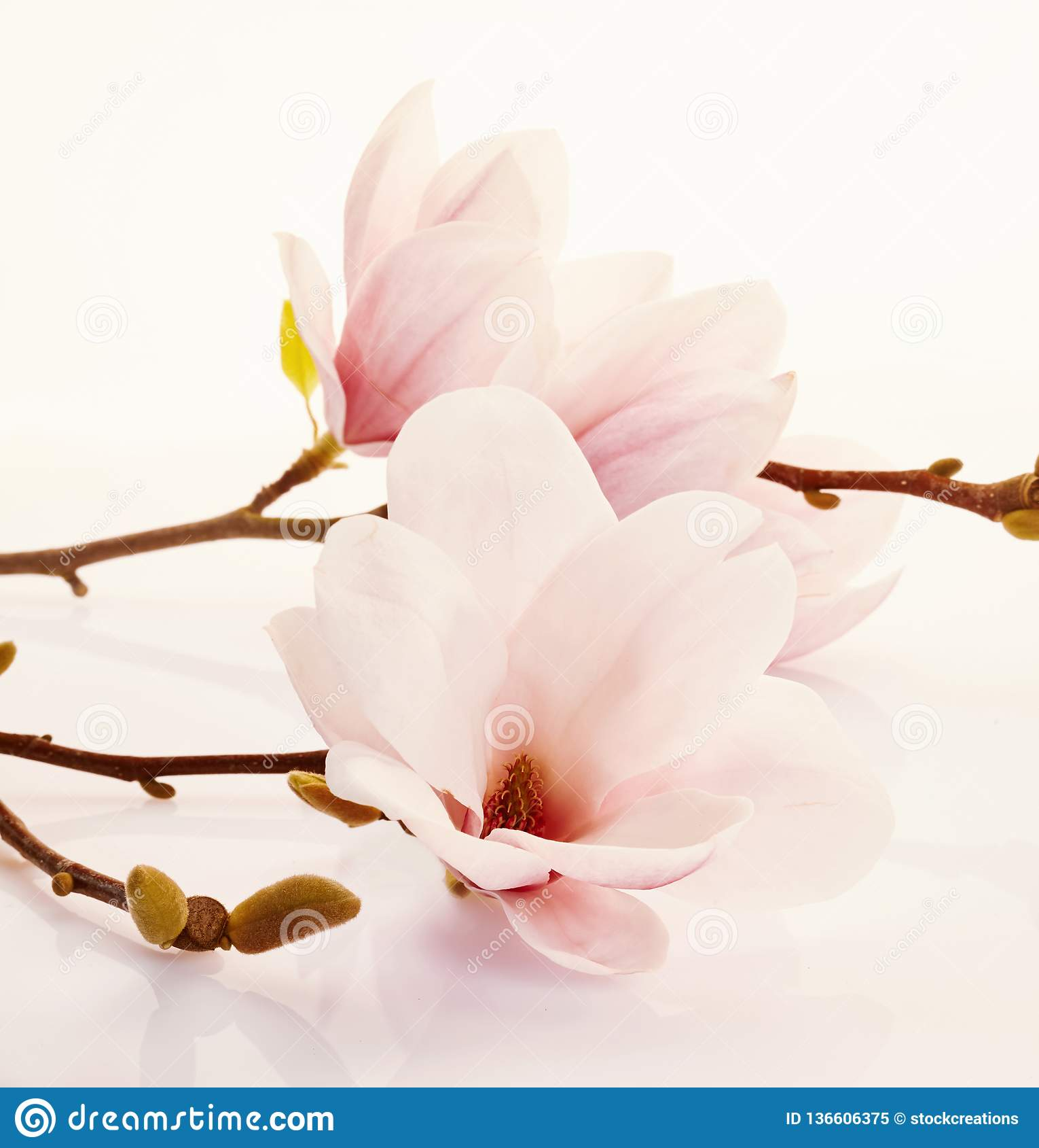 Fragrant świezi różowi magnolia kwiaty