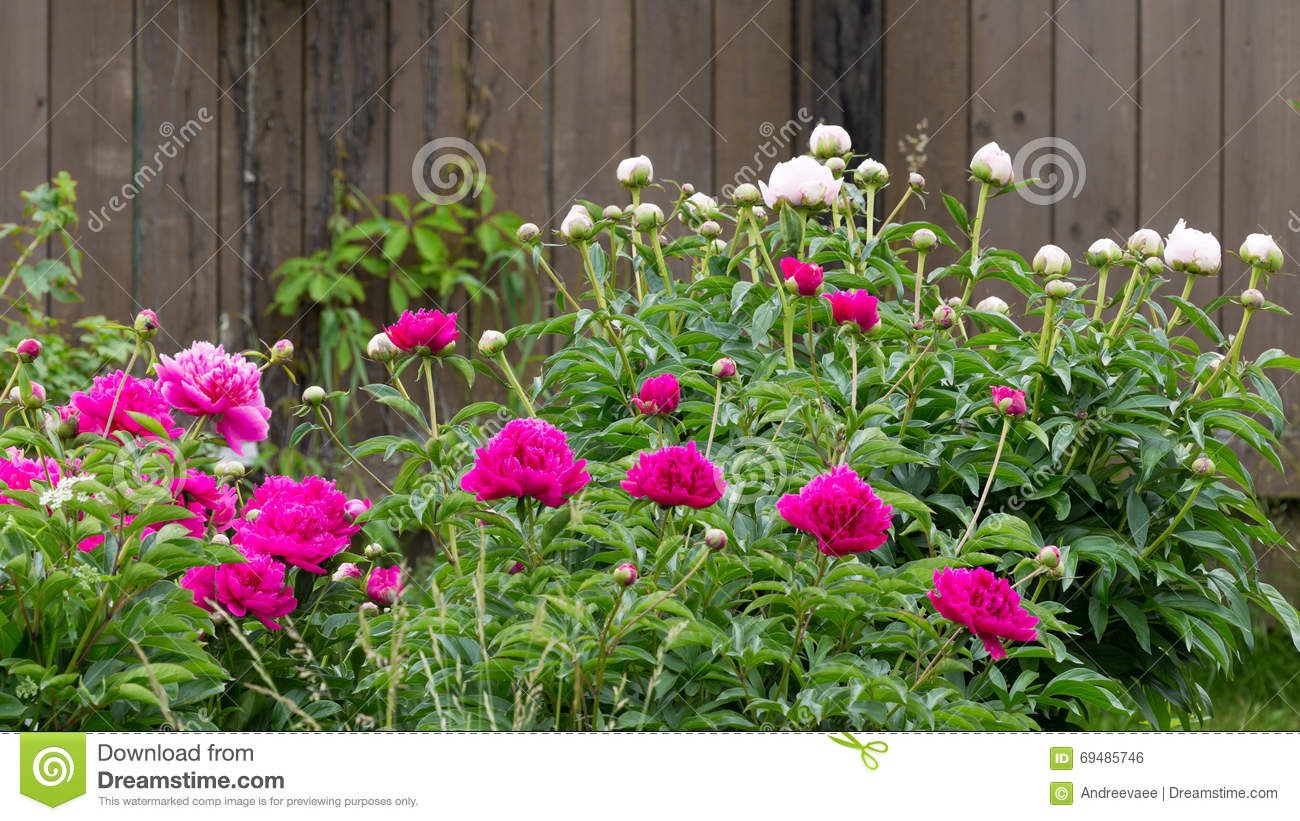 Large bush of peonies in the garden growing flowers stock photography 70560638 - Growing peonies in the garden ...