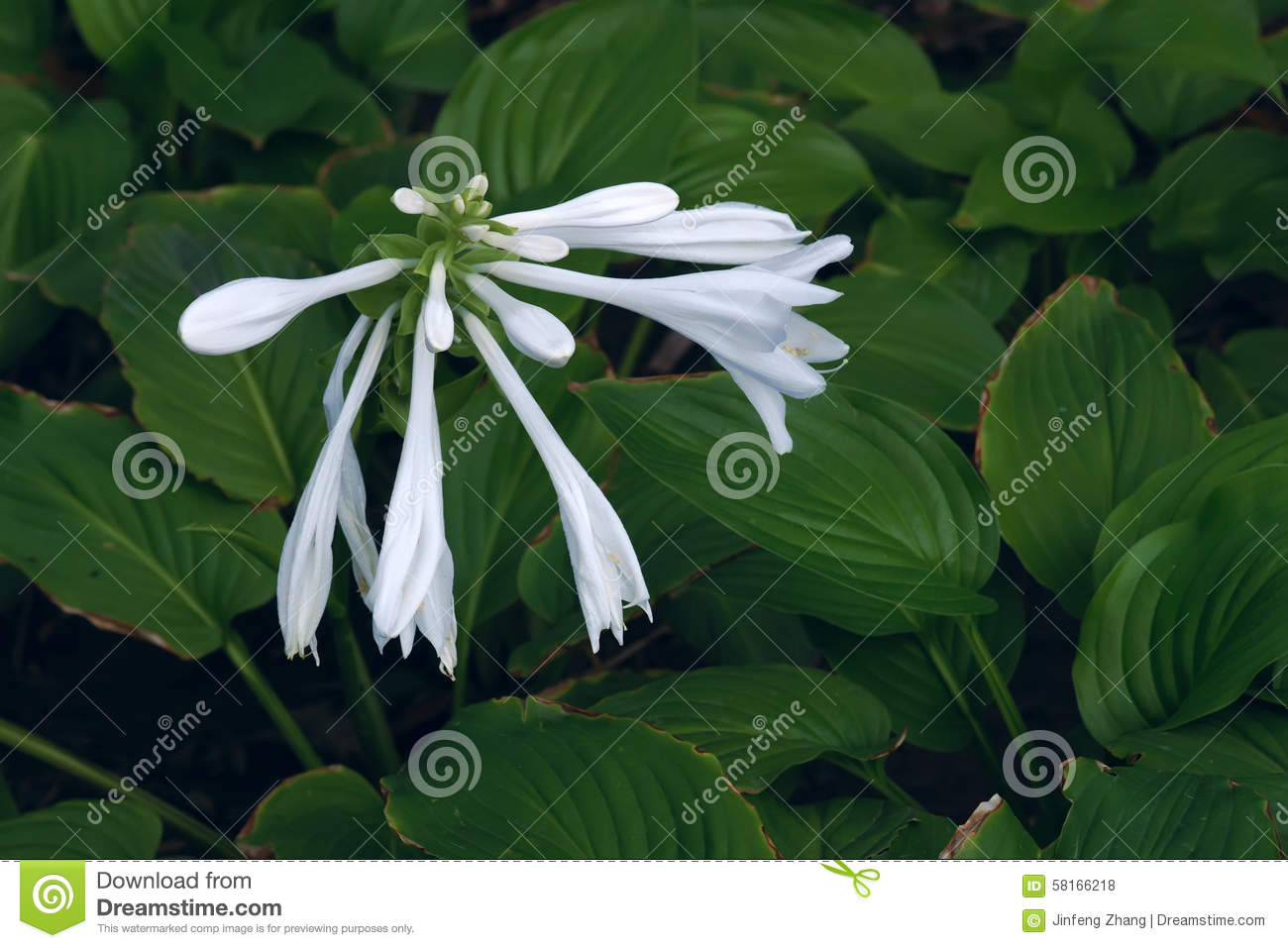 Fragrant plantain lily stock photo image of anthotaxy 58166218 fragrant plantain lily izmirmasajfo