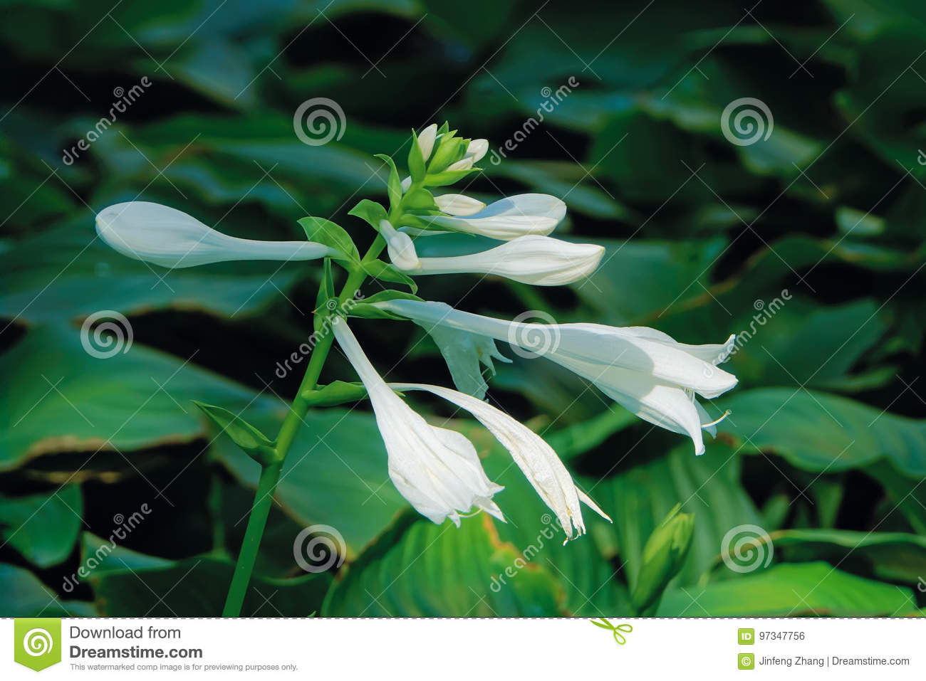 Fragrant plantain lily stock photo image of green plantain 97347756 fragrant plantain lily izmirmasajfo