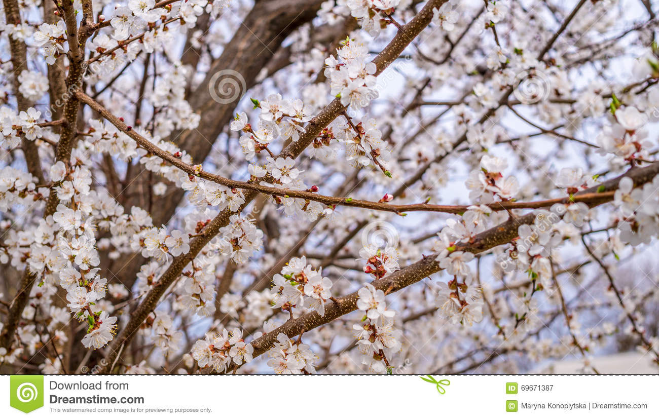 Fragrant White Flowers Of The Apricot Tree In Early Spring Stock