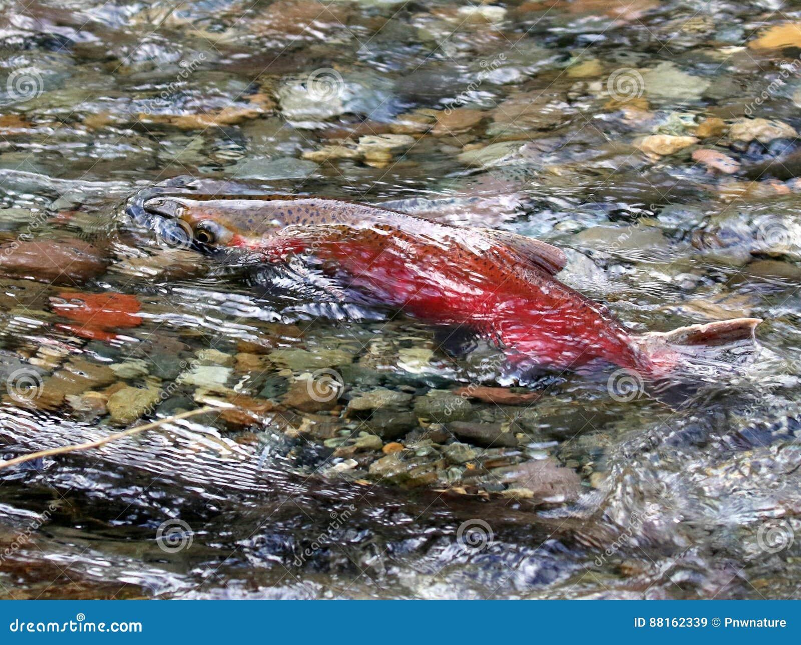 Frai des saumons de Coho
