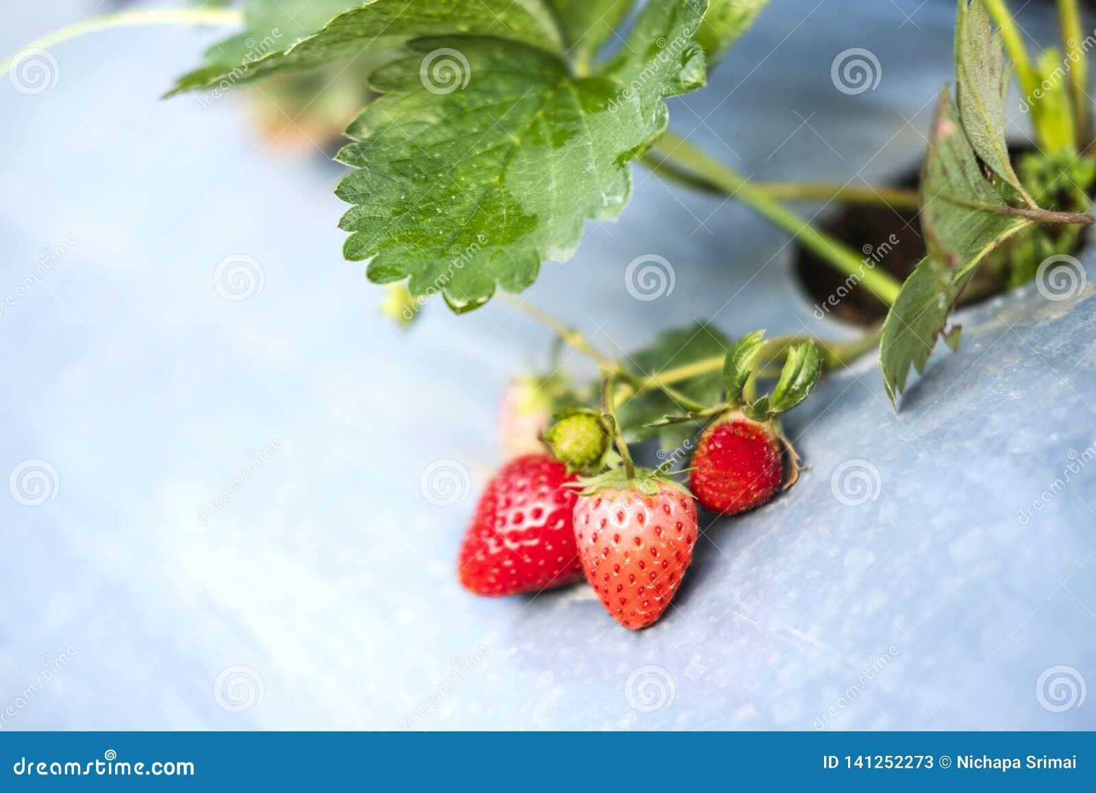 Fraise dans la ferme organique de fraise