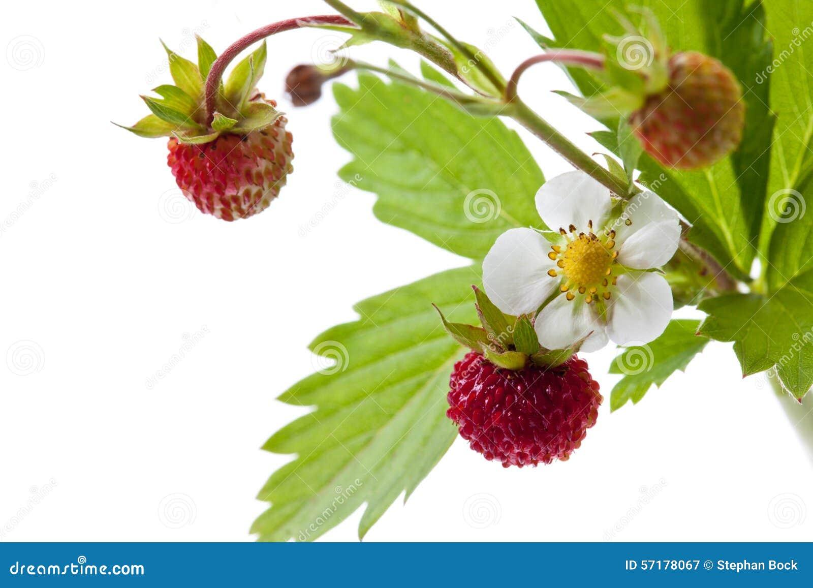 fraisier fleur et feuilles image stock image du m r sain 57178067. Black Bedroom Furniture Sets. Home Design Ideas