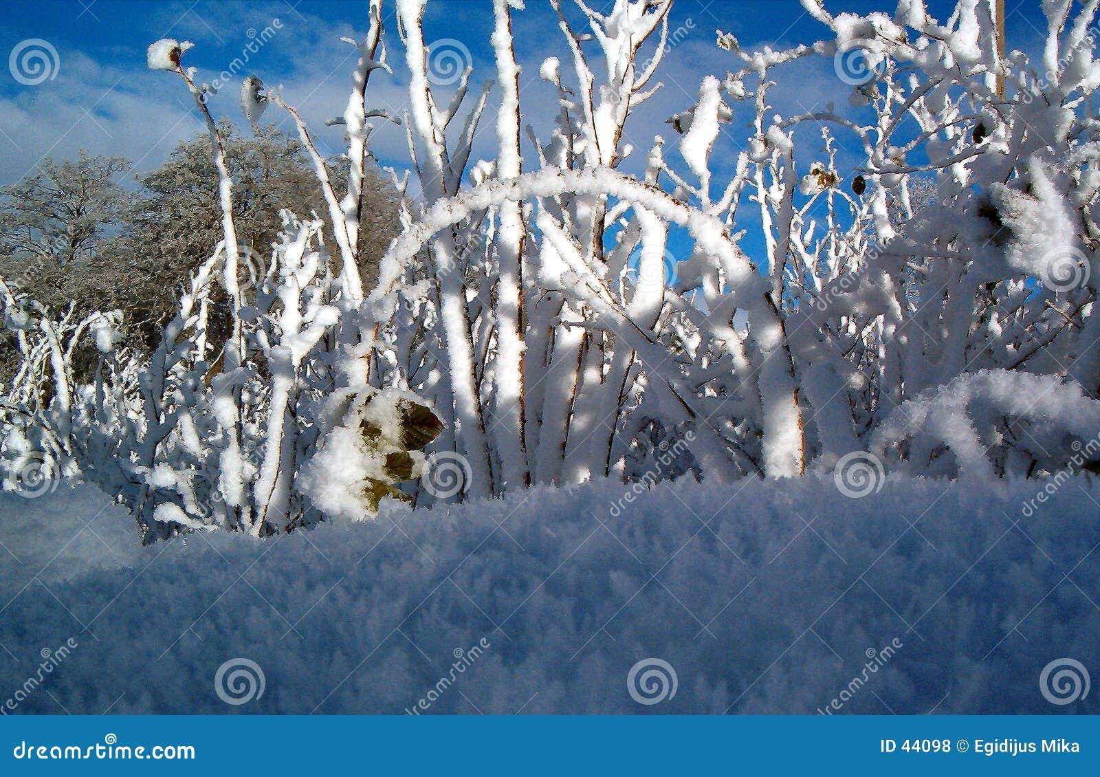 Framboos in de winter