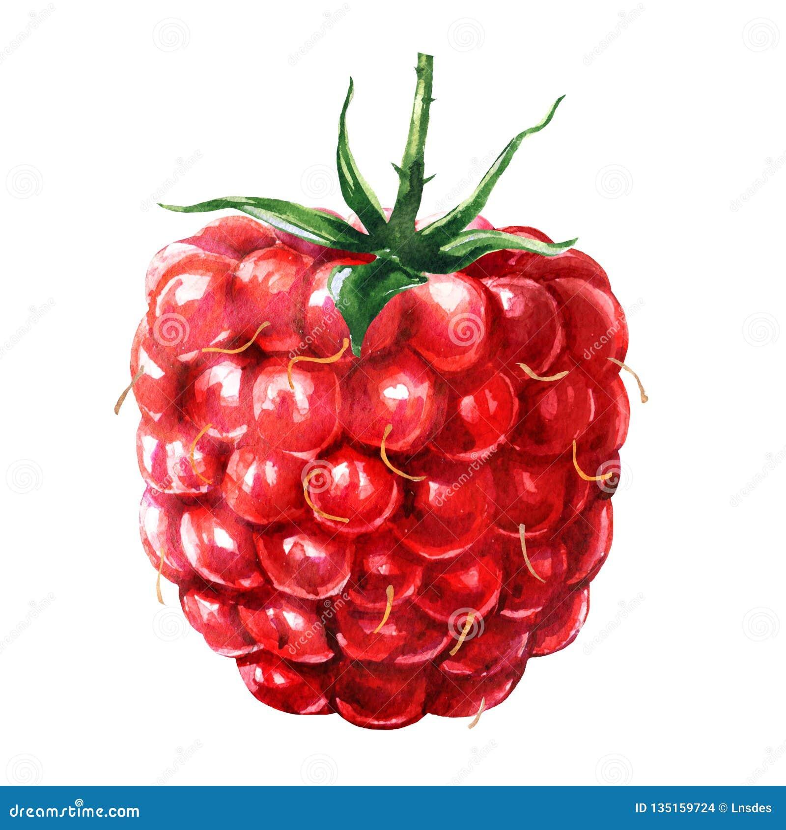 Frambuesa roja madura fresca, baya jugosa dulce con la hoja verde, alimento biológico, primer, aislado, acuarela exhausta de la m