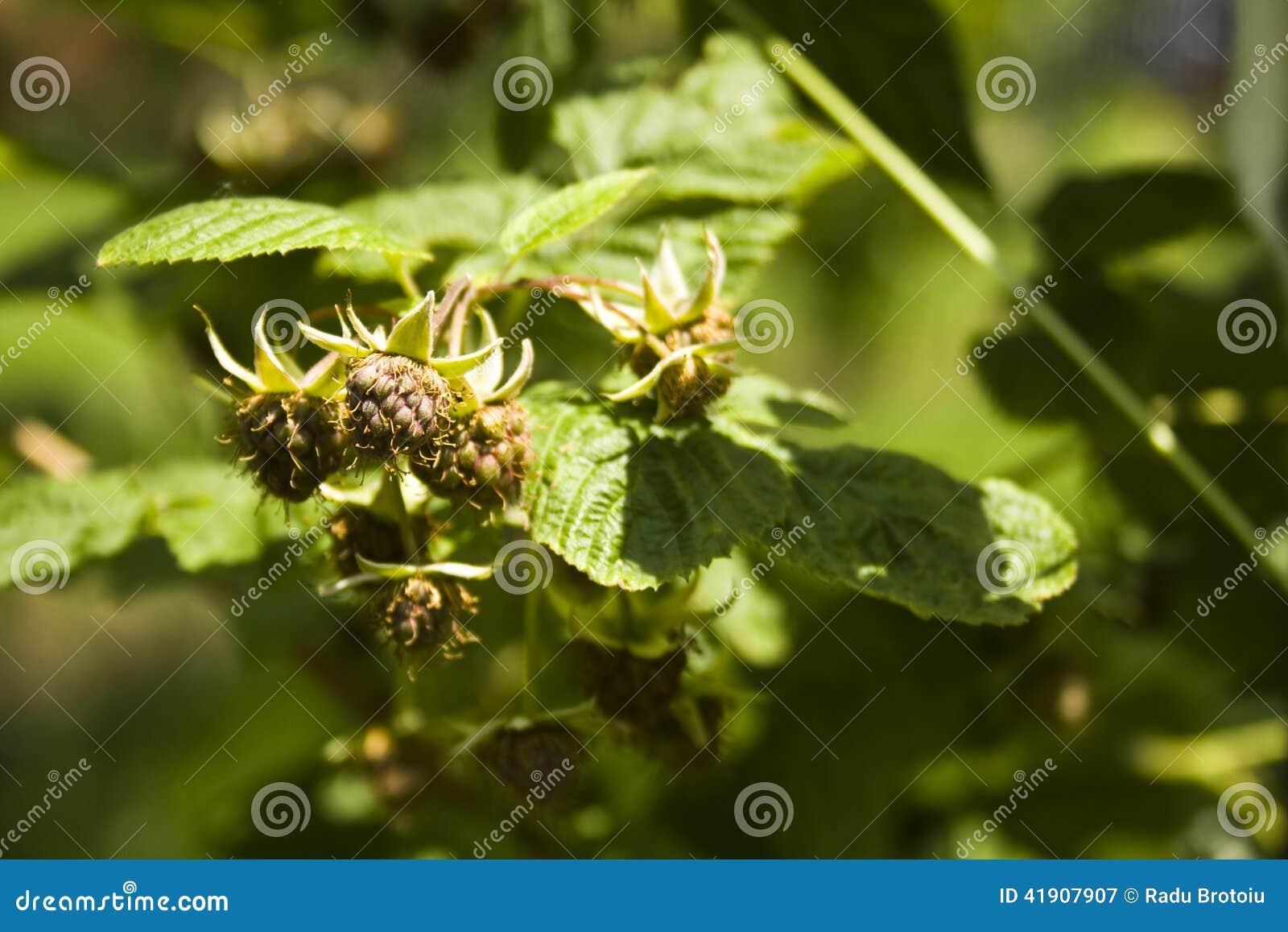 Frambuesas (idaeus del Rubus)