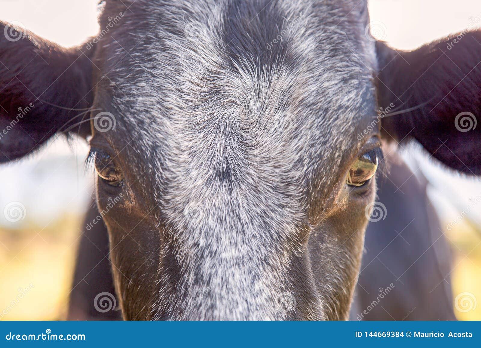 Framdel av ett svart kalvhuvud