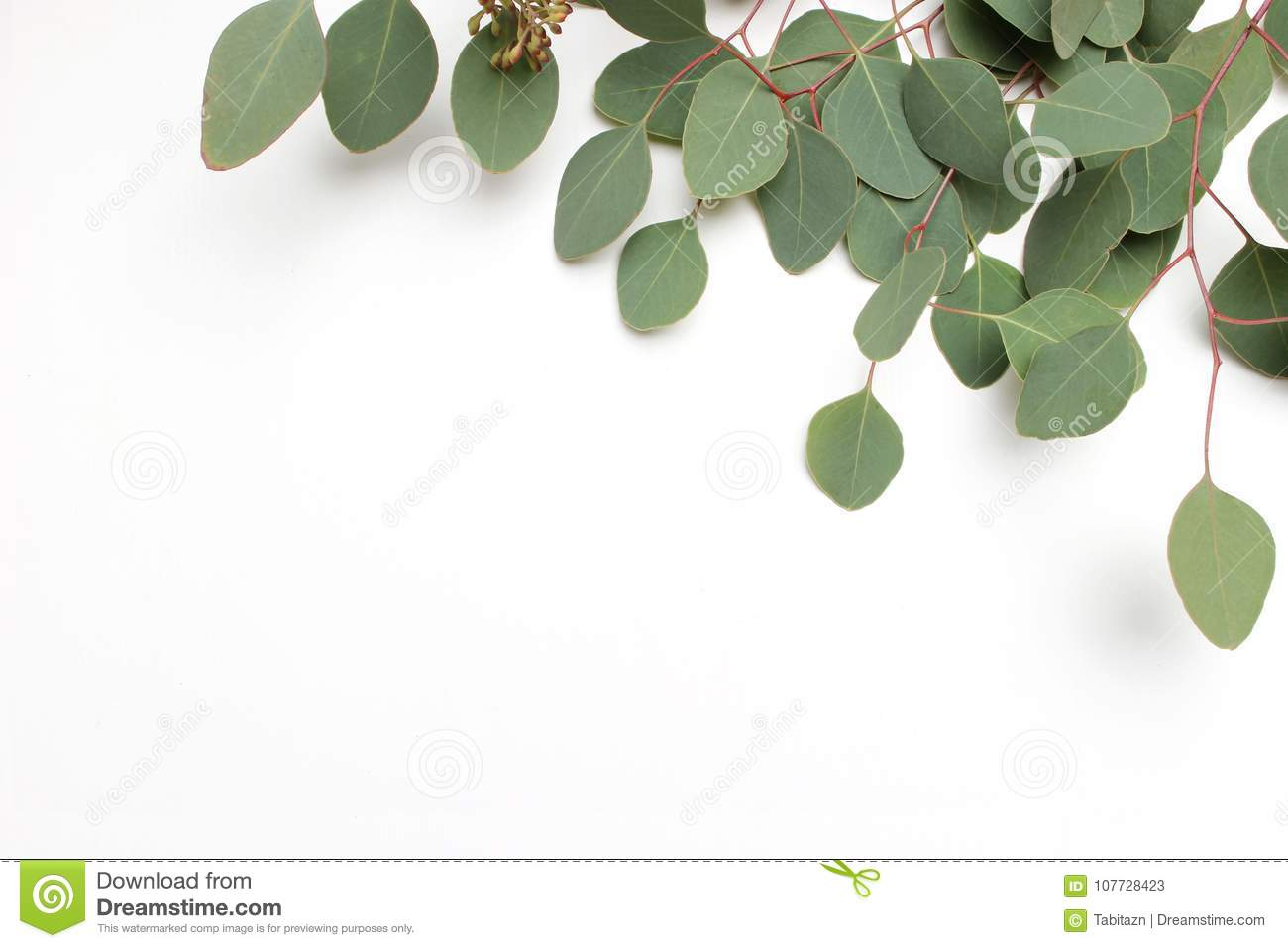 Frame, border made of green Silver dollar Eucalyptus cinerea leaves and branches on white background. Floral composition