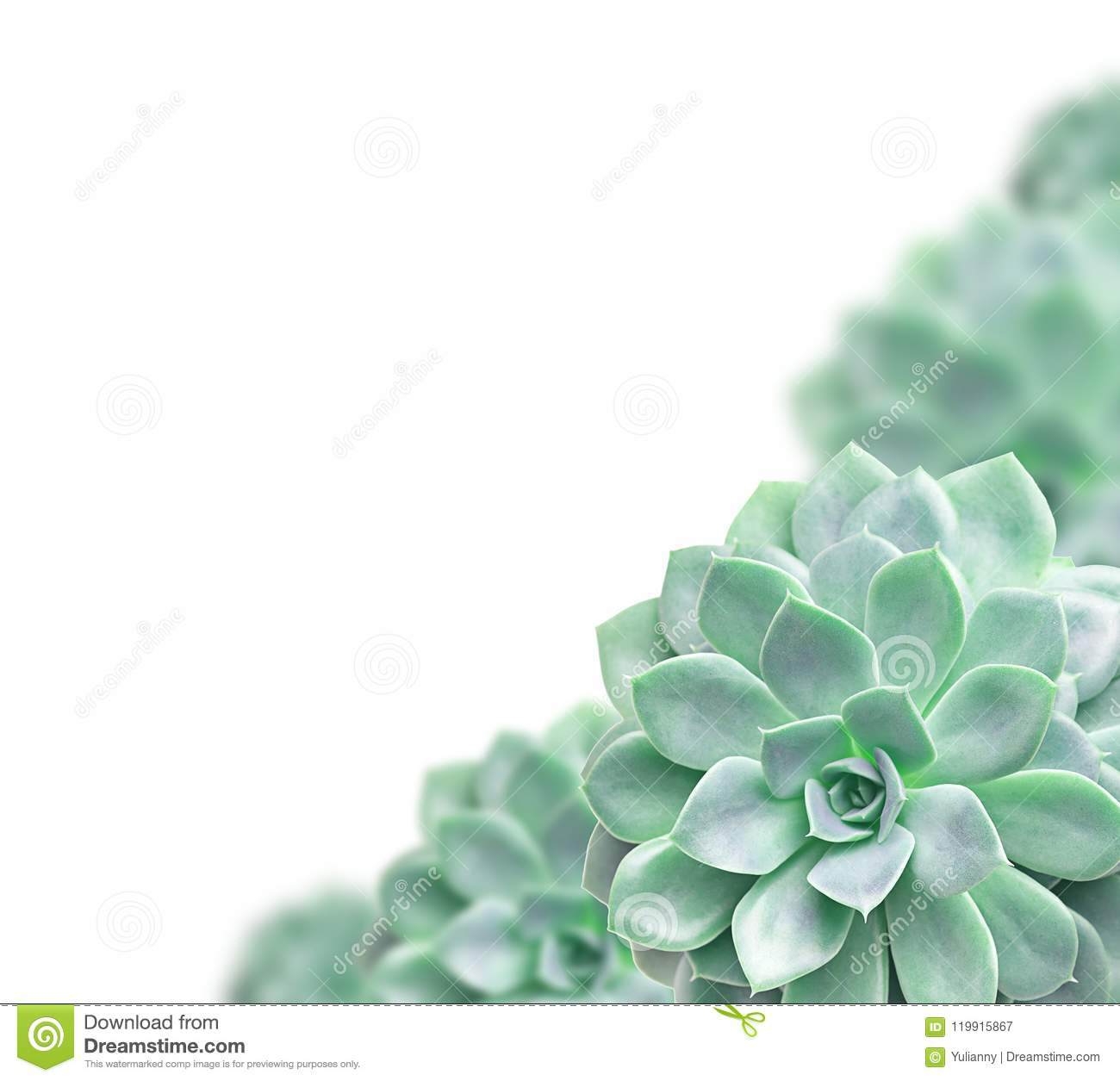 Frame Of Cactus Succulent Plant Isolated On White Stock Image ...