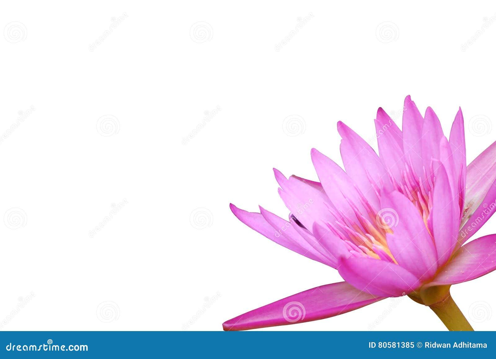 Framing Lotus Flower Pink Stock Image Image Of Beautiful 80581385