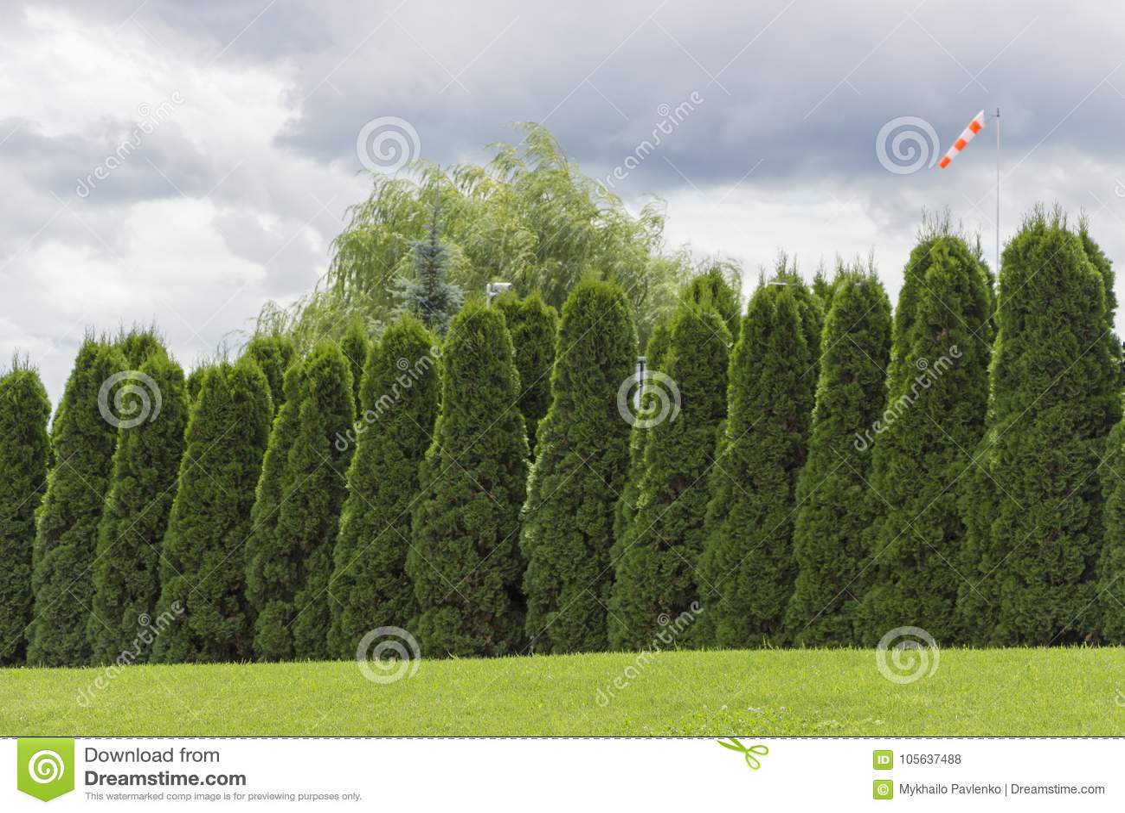 Foto Di Piante Sempreverdi frammento di una barriera rurale del recinto dalle piante
