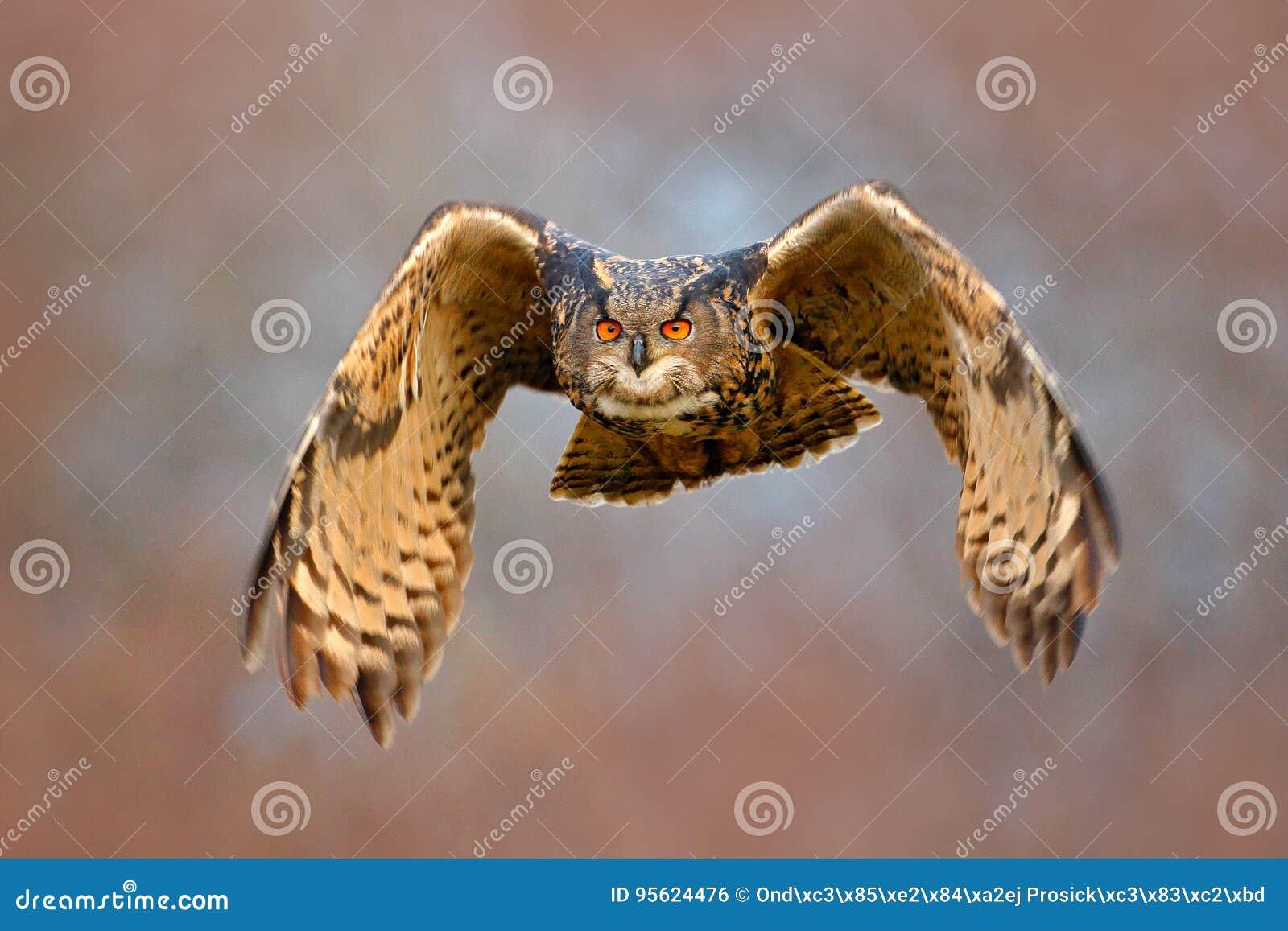 Framsidafluga av ugglan FlygEurasianEagle uggla med öppna vingar med snöflingan i snöig skog under kall vinter Handlingdjurlivsce