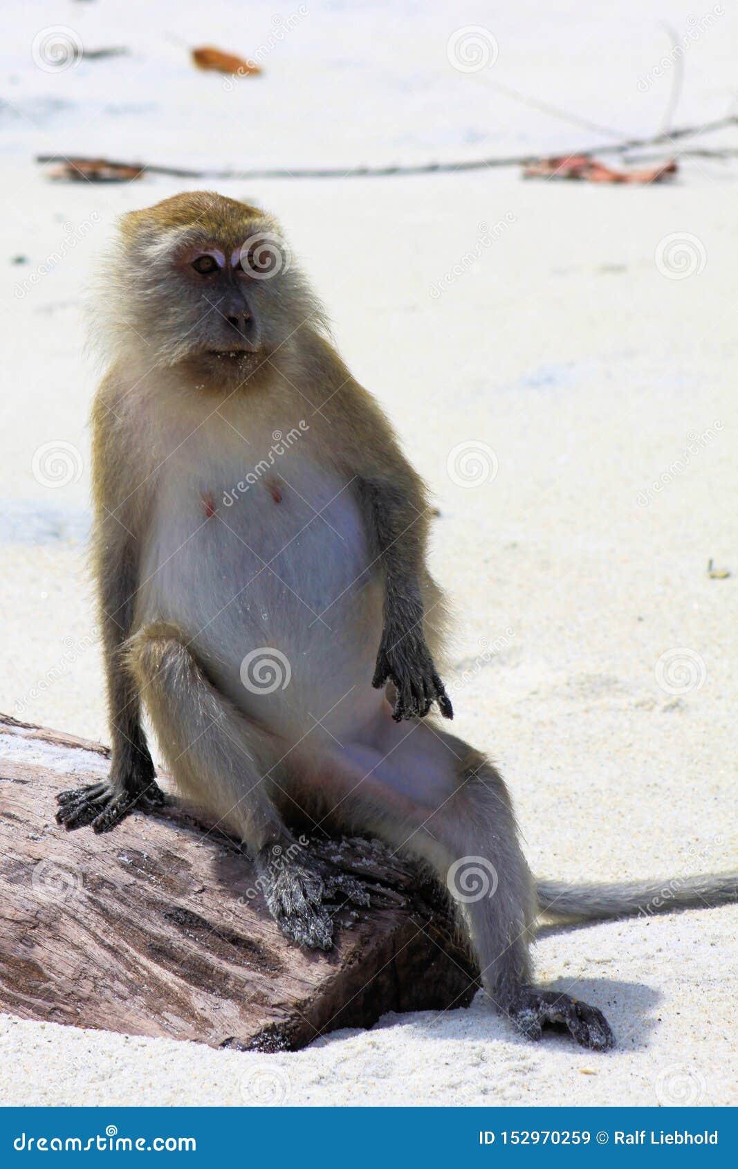 Framstickandet: Apakrabba som äter den långa tailed macaquen, Macacafascicularis som sitter på en stam i kall mänsklig position