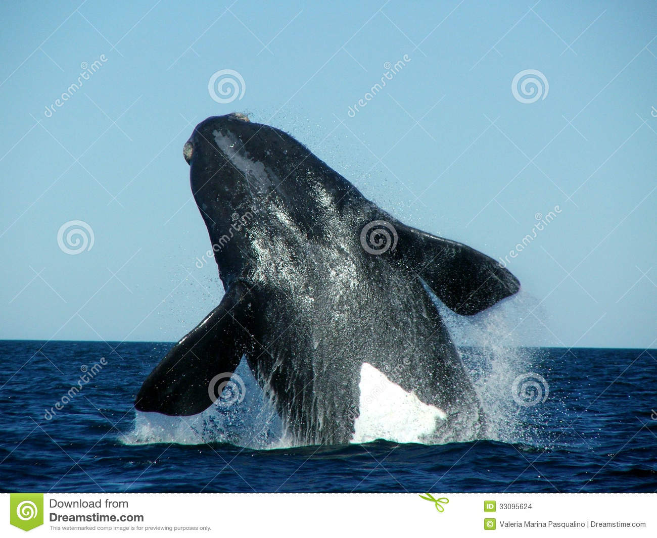 Southern Right Whale jump