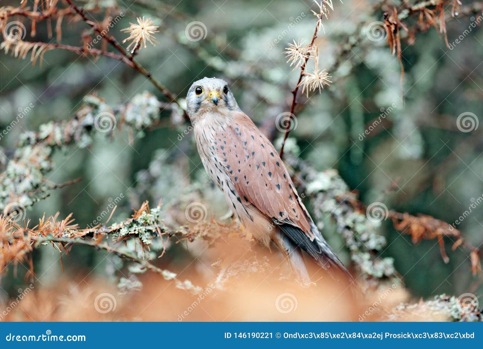 Francelho comum, tinnunculus de Falco, pássaro de rapina pequeno que senta-se na floresta alaranjada do outono, Alemanha Árvore d