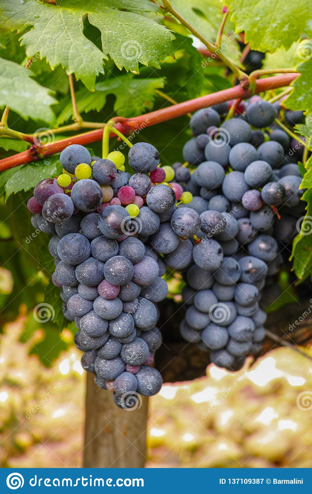 Francuska czerwień, różana win winogron roślina i pierwszy nowy żniwo wina winogrono w, Francja, Costieres de Nimes AOP, domena l