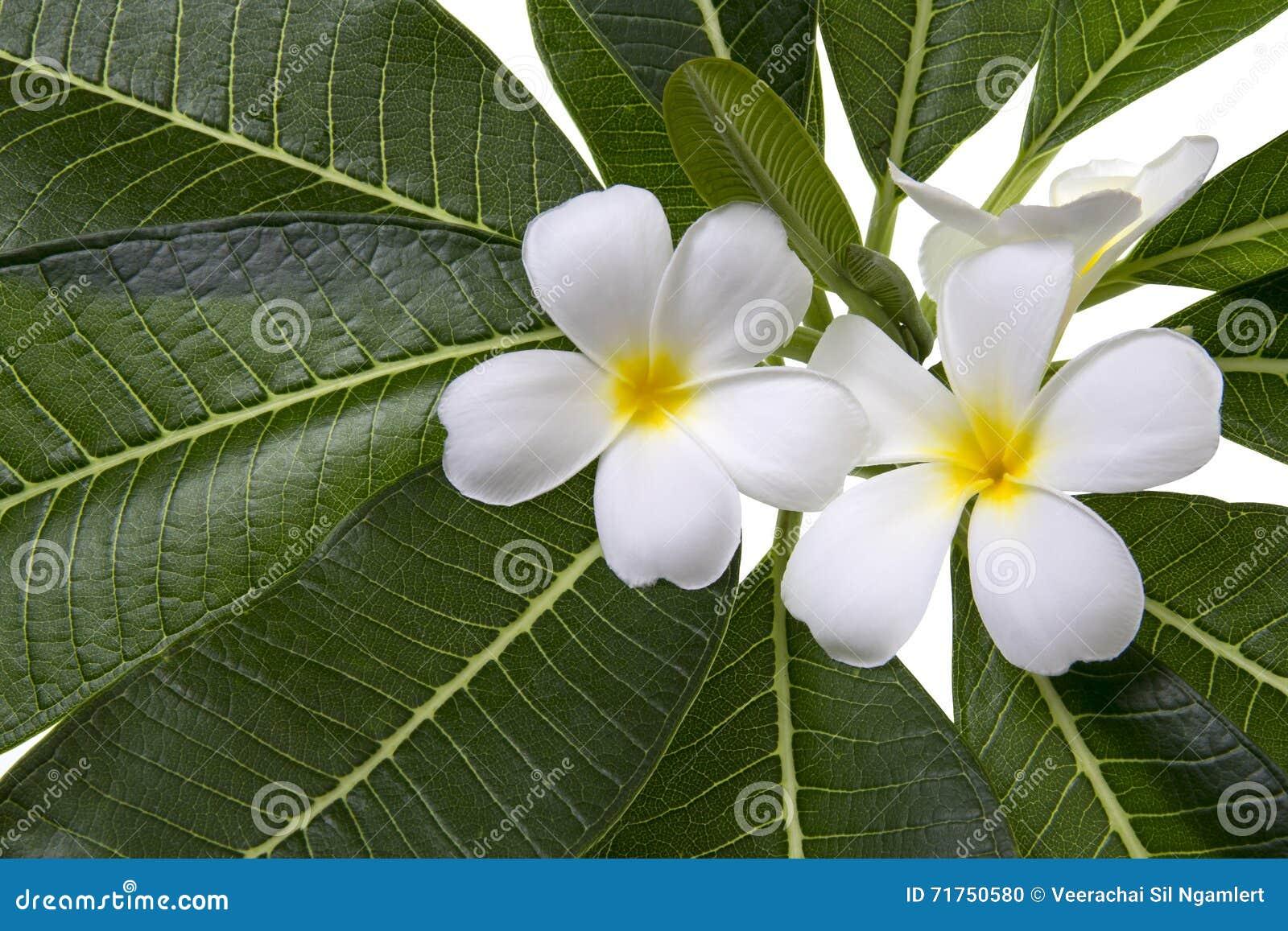 Frangipani και φύλλα σε ένα άσπρο υπόβαθρο