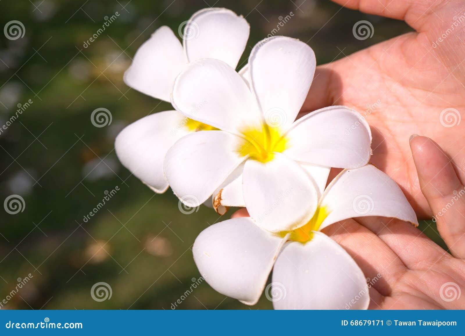 Frangipani λουλουδιών