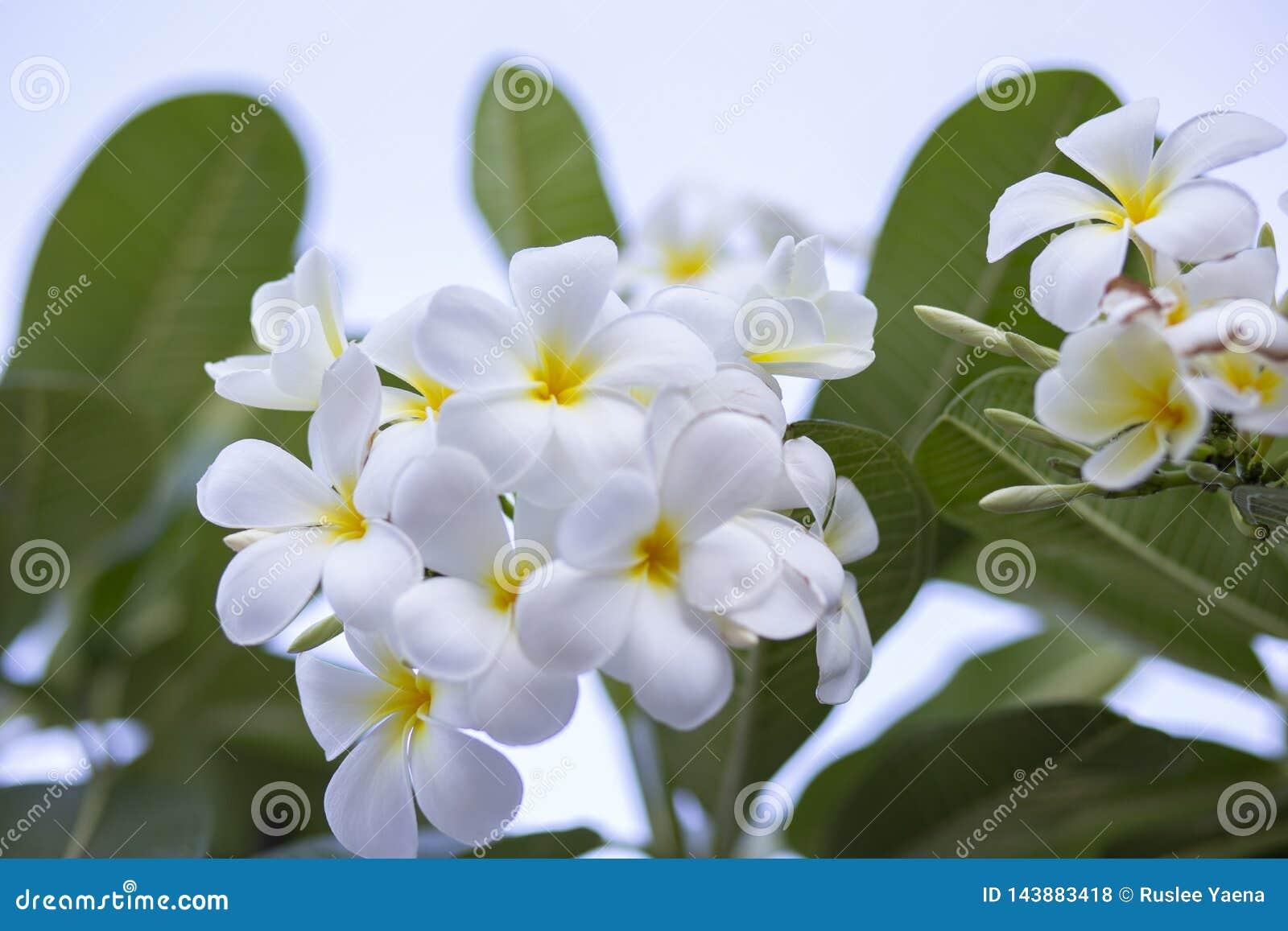 Frangipani цветет Frangipani белый и выходит красивый, концепция: Символы духов ароматности спа ослабляя, букет цветков к