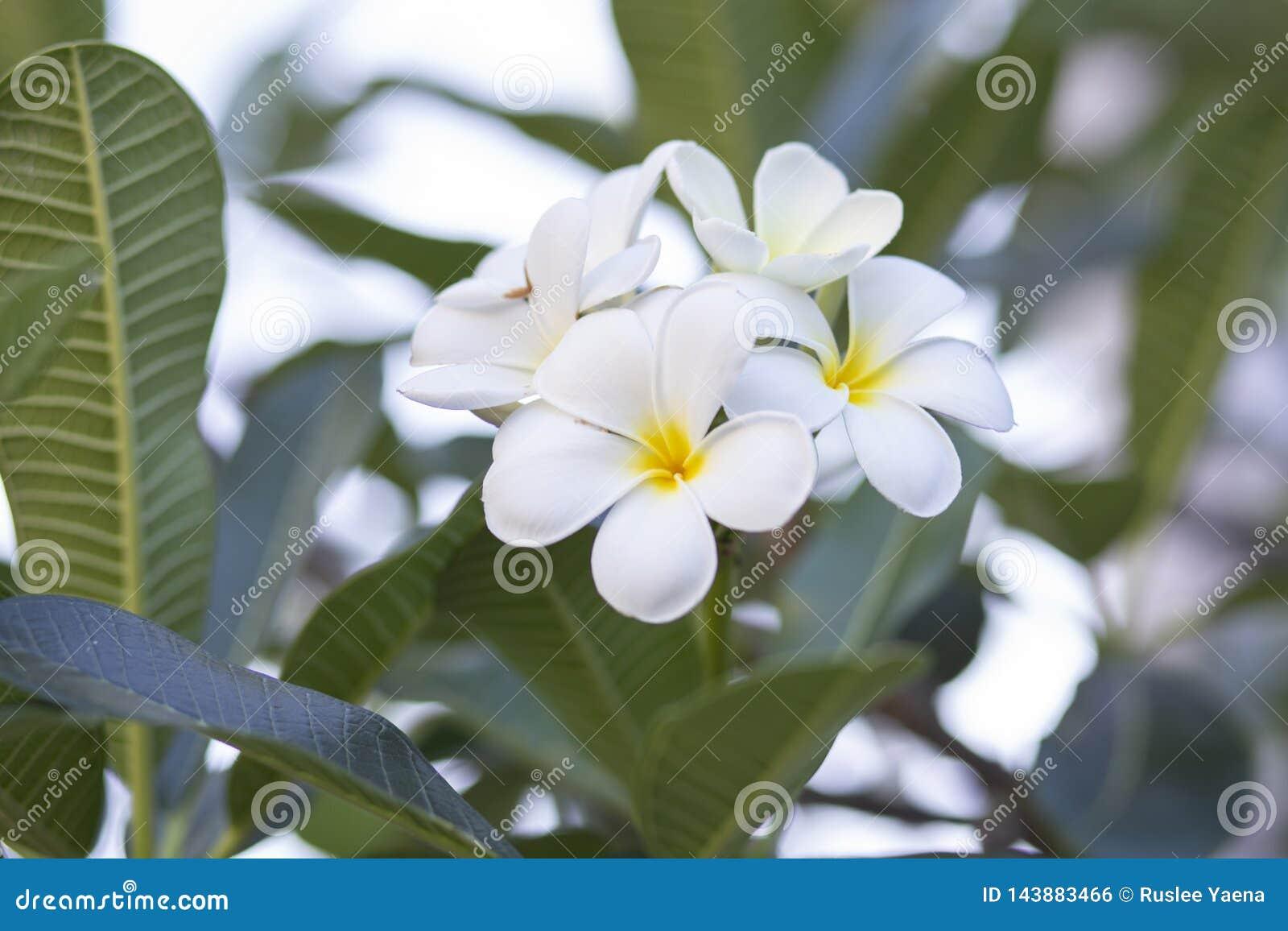 Frangipani bloeit het mooie wit en de bladeren van Frangipani, concept: Kuuroordaroma het Ontspannen Parfumsymbolen, a-boeket van