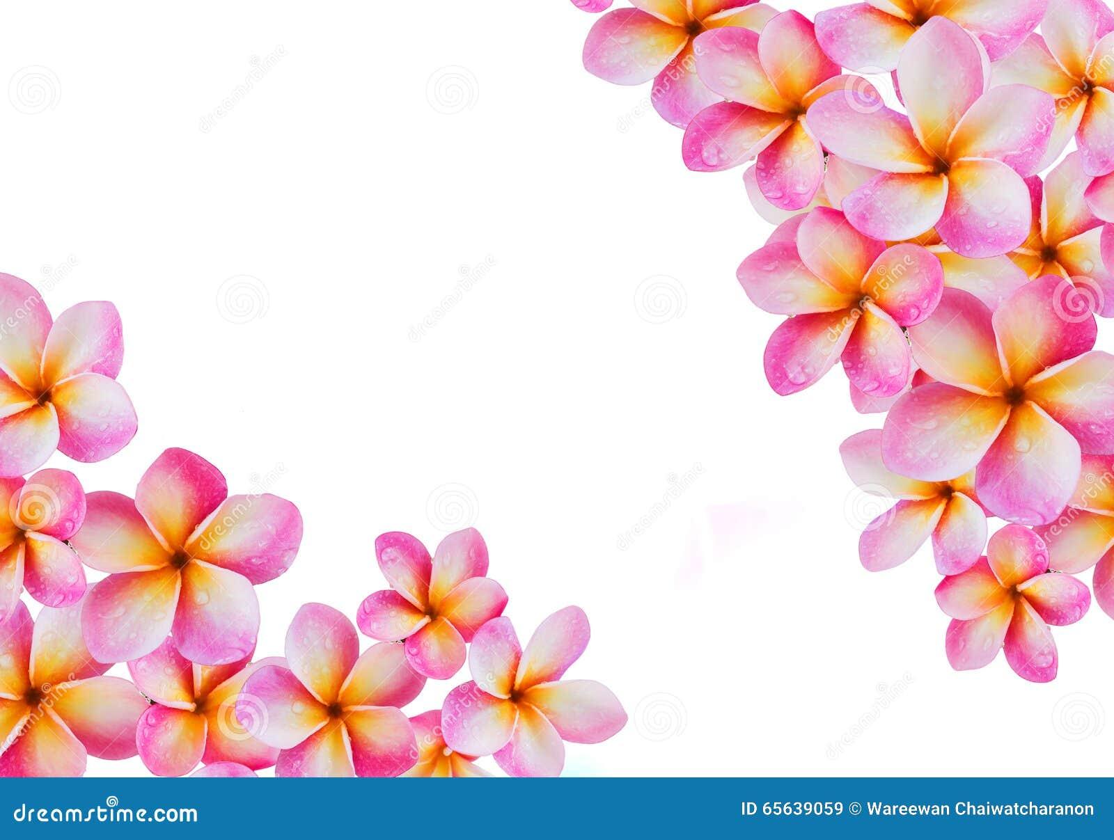 Frangipani de fleur ou groupe rose d isolement de plumeria sur le backg blanc