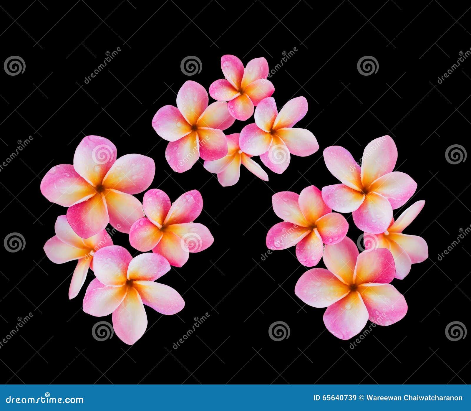 Frangipani de fleur ou groupe rose d isolement de plumeria sur le backg noir
