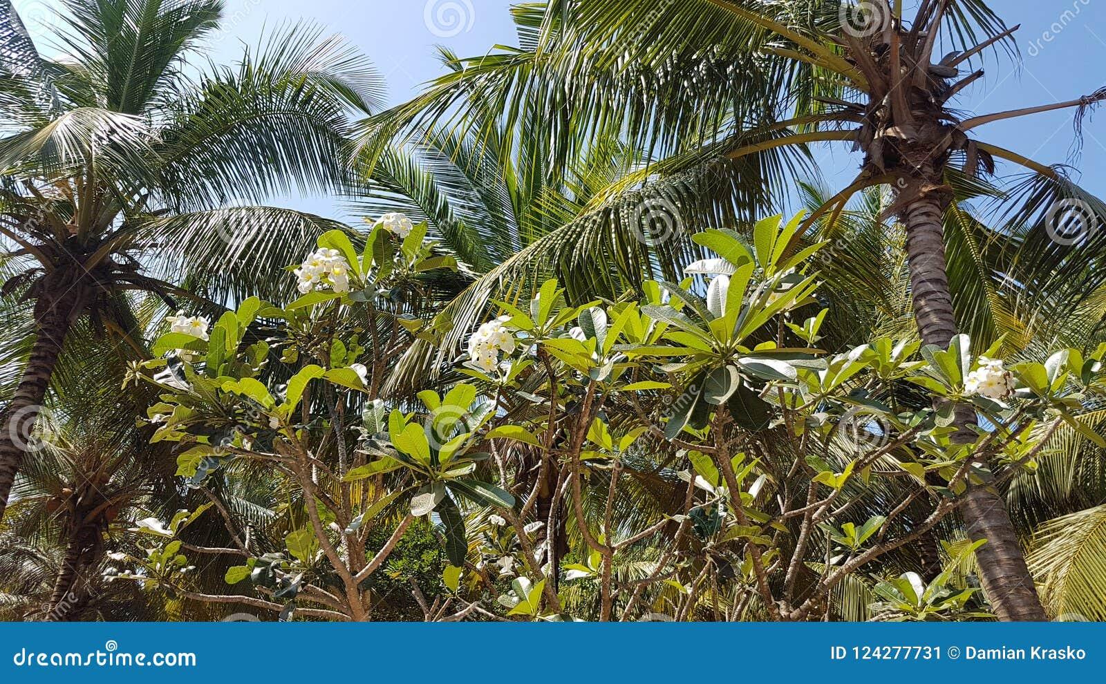 Frangipani en palmen