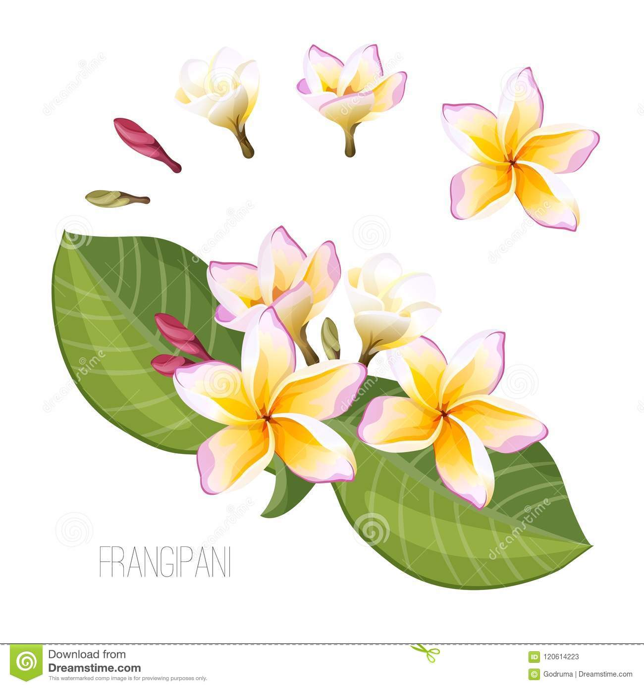Frangipani Plumeria Flower With Green Leaves Isolated On White Stock