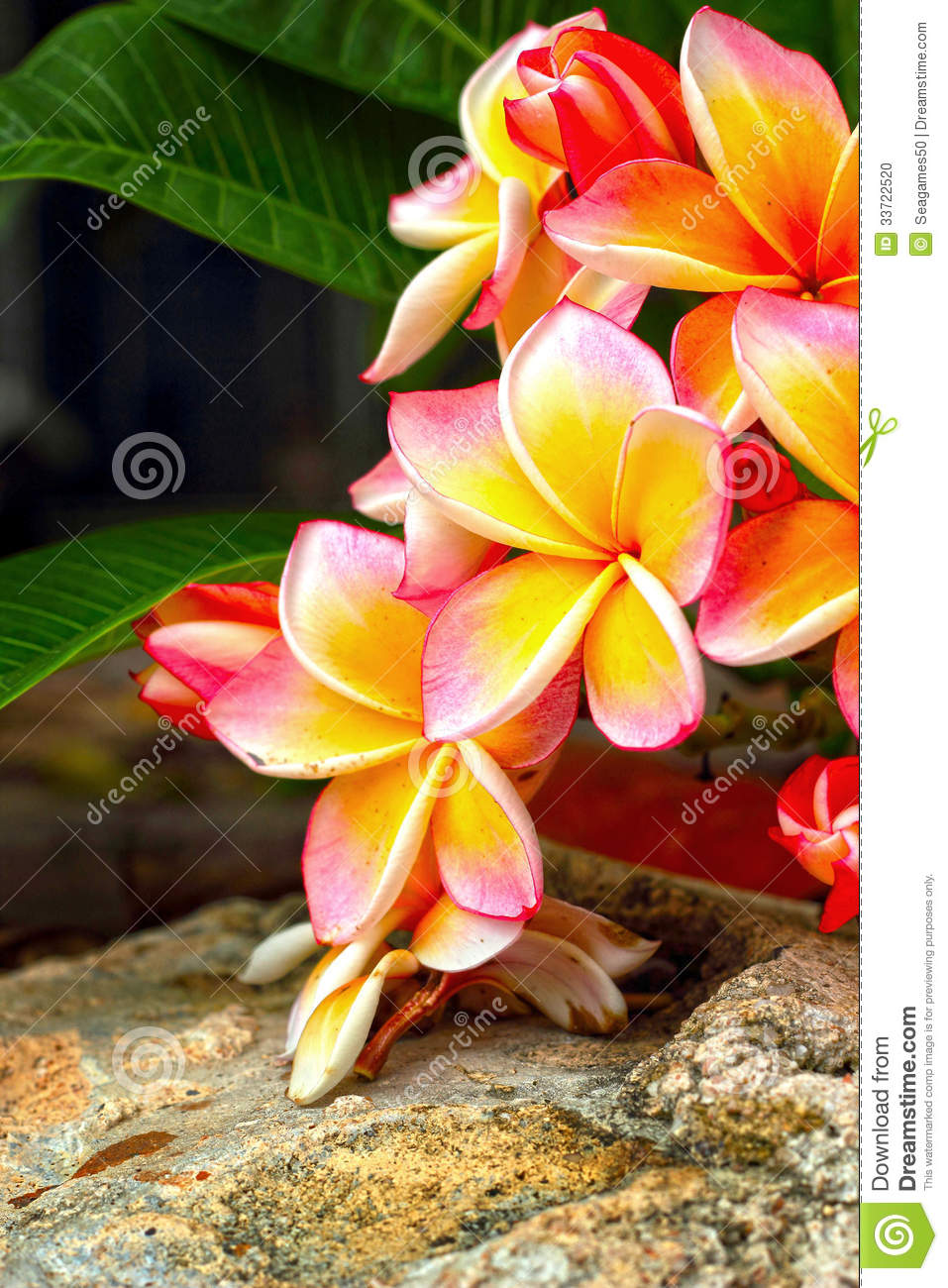 Frangipani flower pink flowers yellow in nature stock photo download frangipani flower pink flowers yellow in nature stock photo image of petal mightylinksfo
