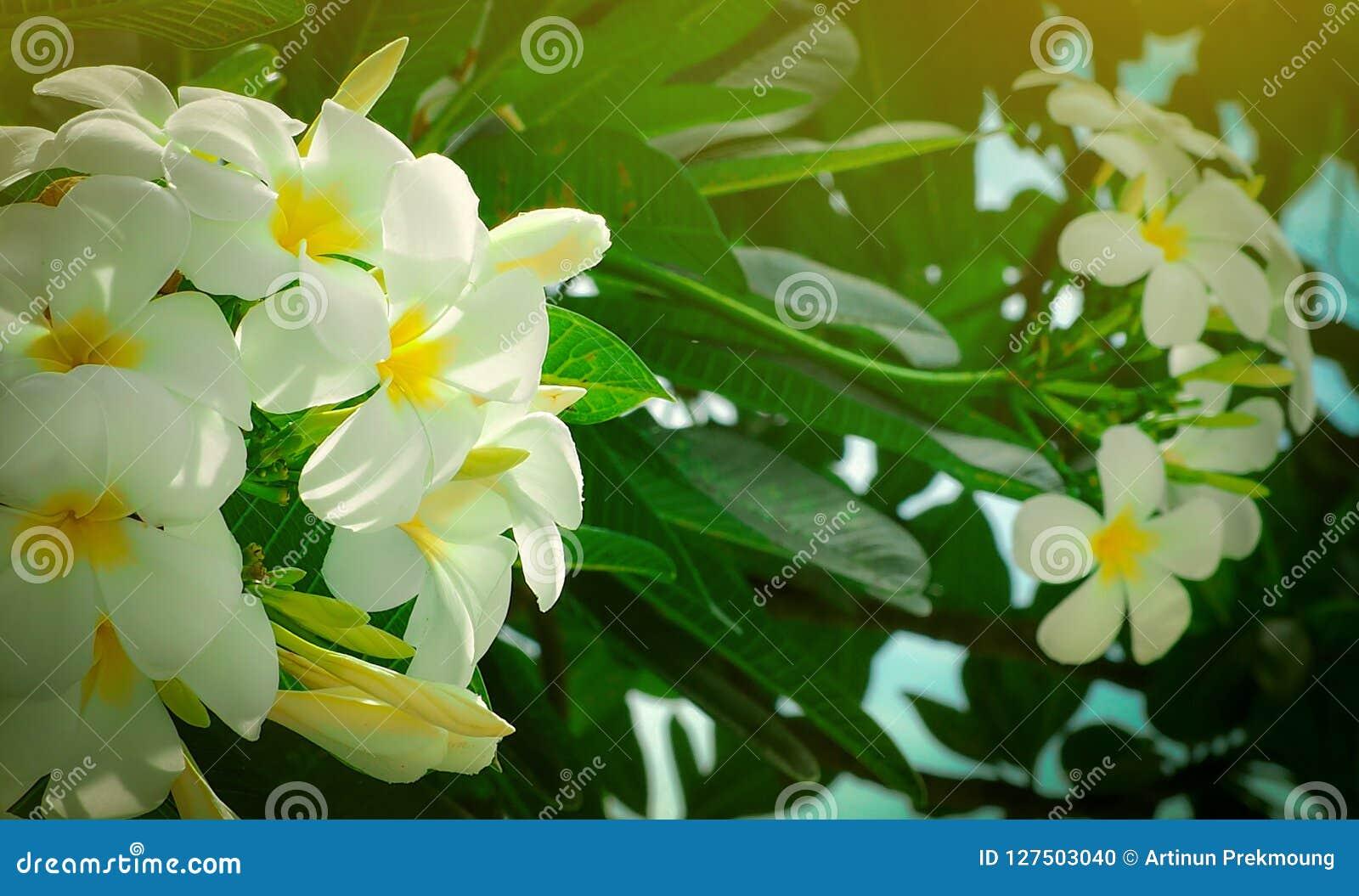 Frangipani Flower Plumeria Alba With Green Leaves On Blurred