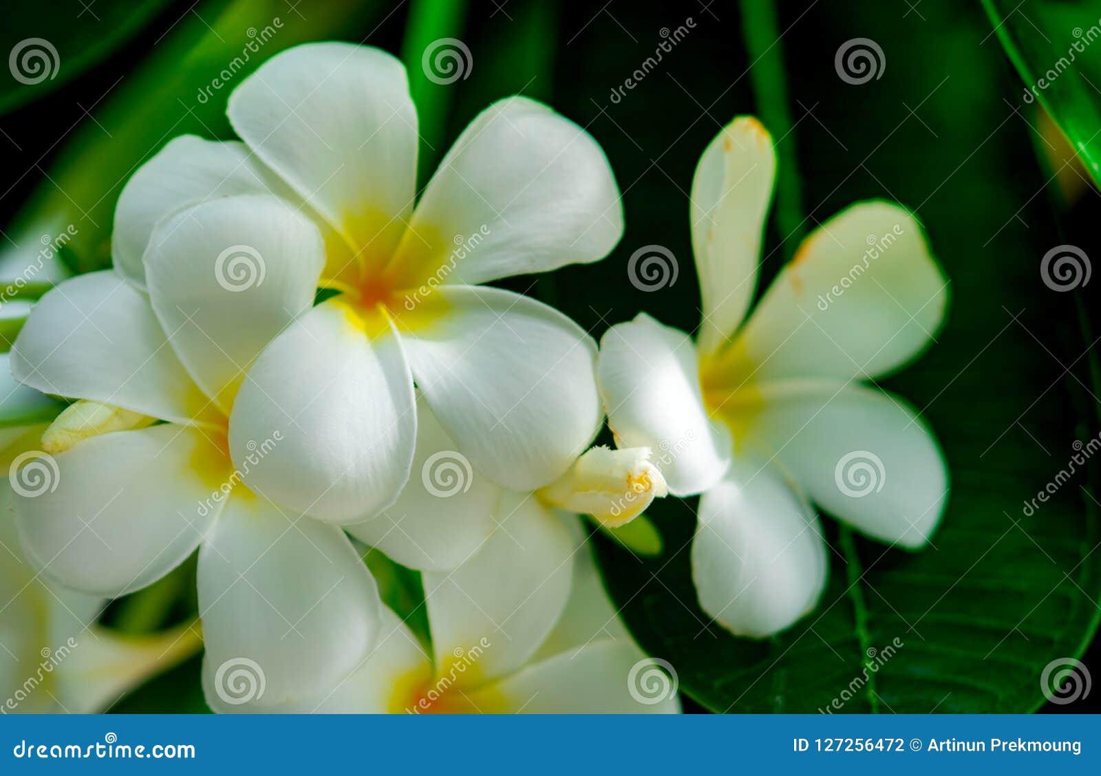 Frangipani flower plumeria alba with green leaves on blurred frangipani flower plumeria alba with green leaves on blurred background white flowers with yellow at mightylinksfo