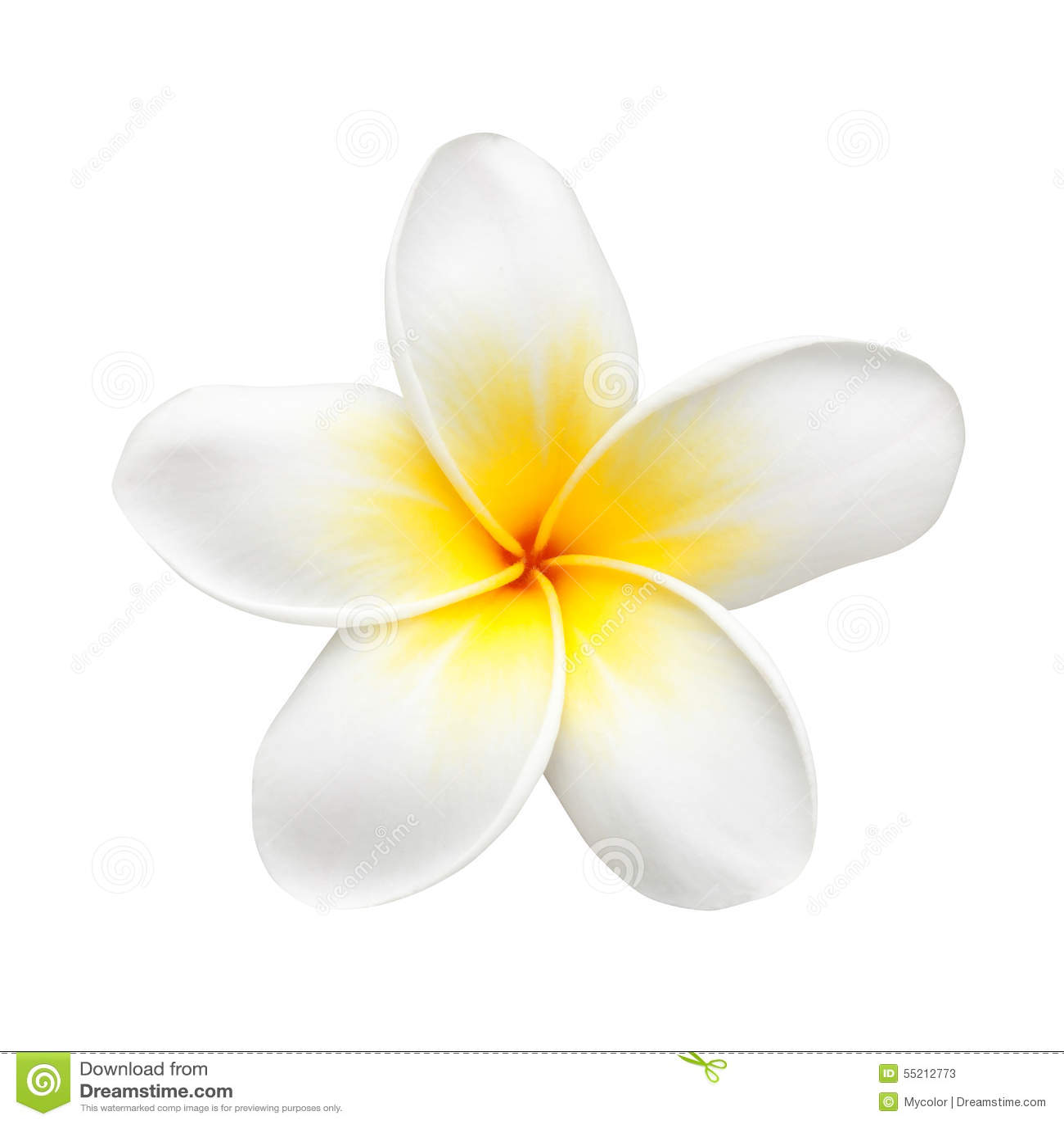 frangipani flower or plumeria isolated on white stock magnolia wreath clipart magnolia clip art black and white