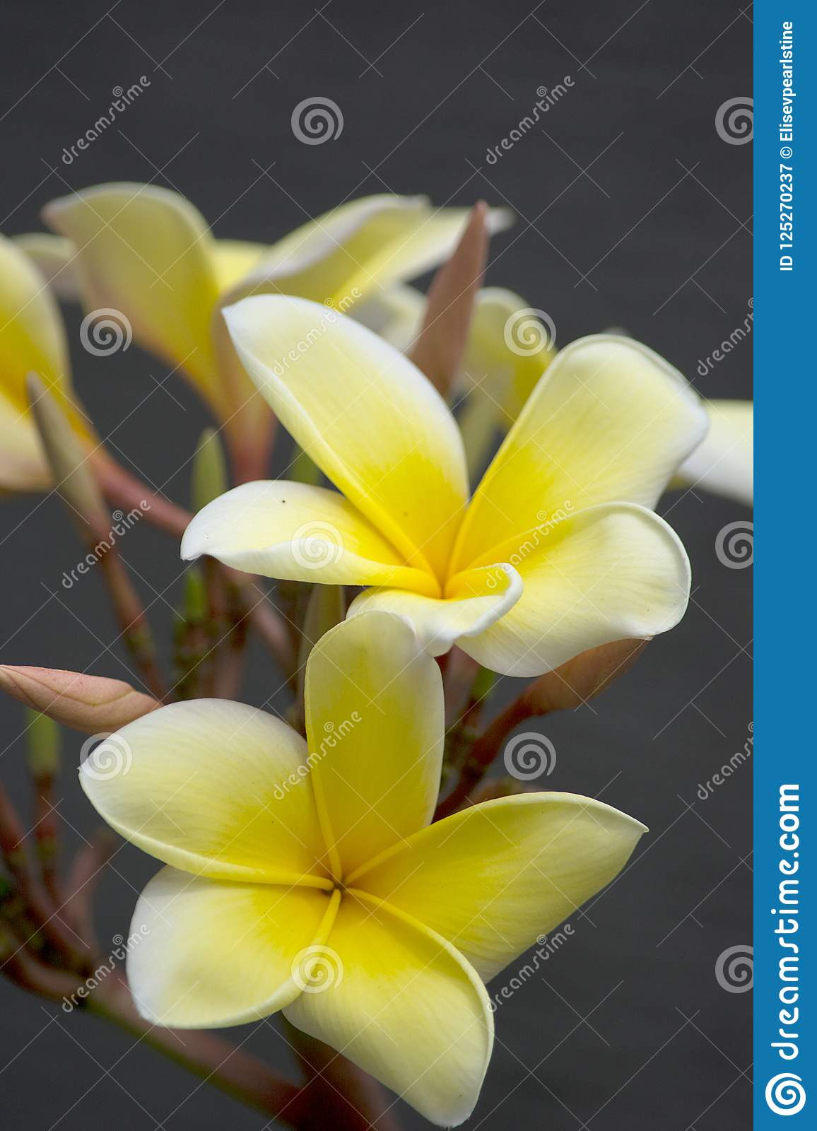 Frangipani Flowers In Gold And White Are Very Fragrant In The