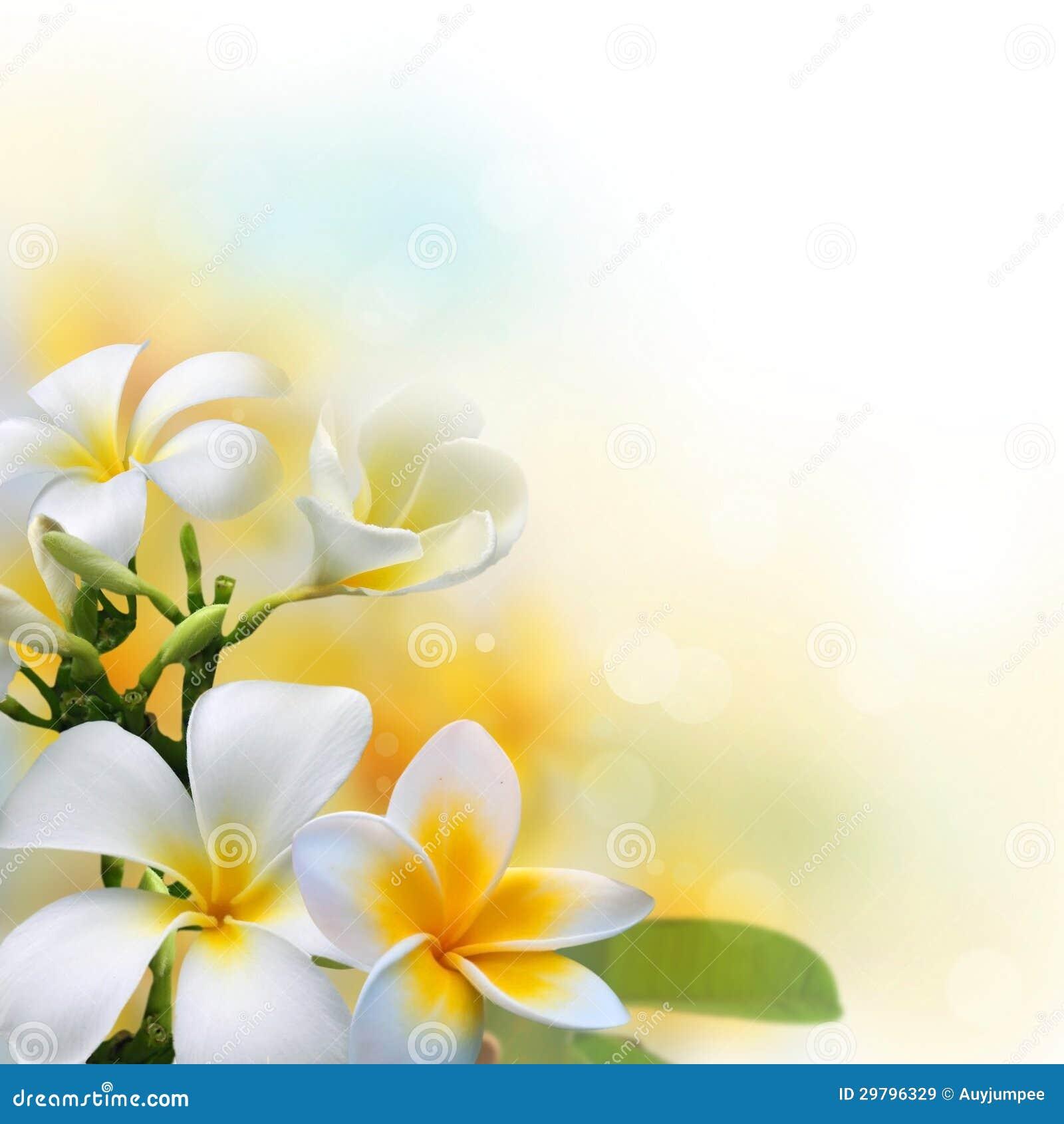 Frangipani Flowers On Sunshine Morning Background Stock