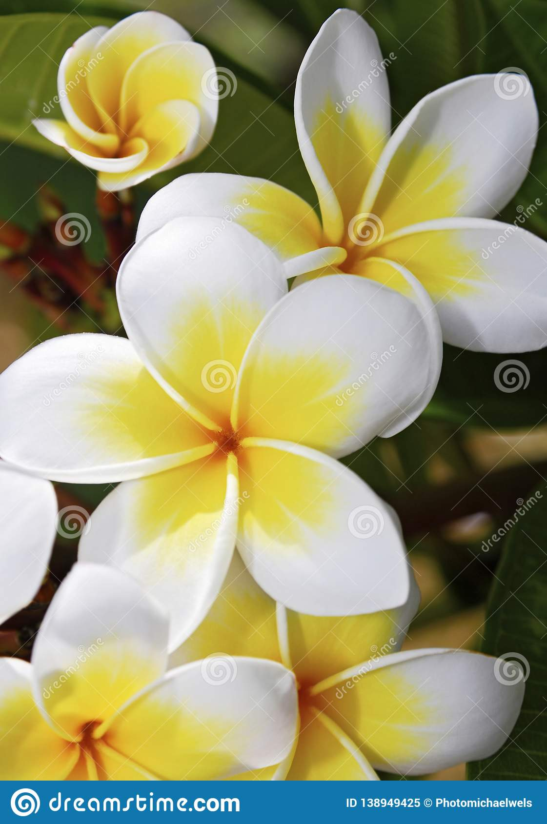 Frangipani Flowers White And Yellow Stock Image , Image of