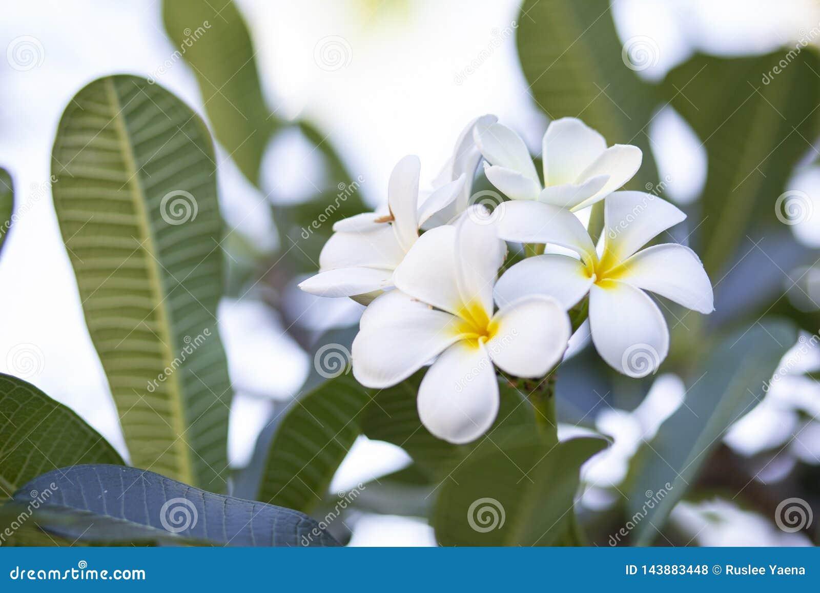 Frangipani kwitnie Frangipani białego i opuszcza piękny, pojęcie: Zdroju aromata pachnidła Relaksujący symbole, A kwiaty bukiet