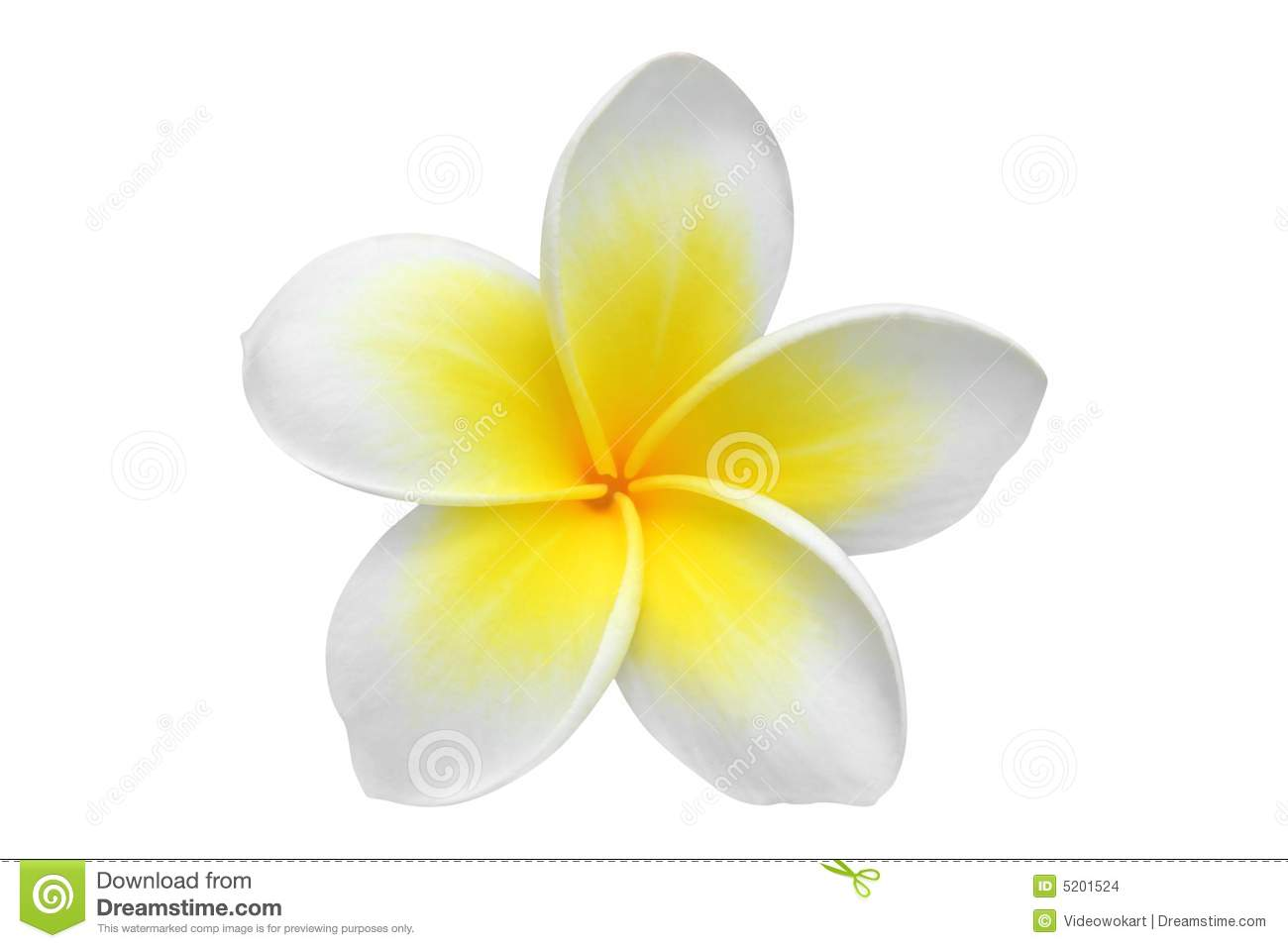 Frangipani Stock Photos, Images, & Pictures - 21,482 Images
