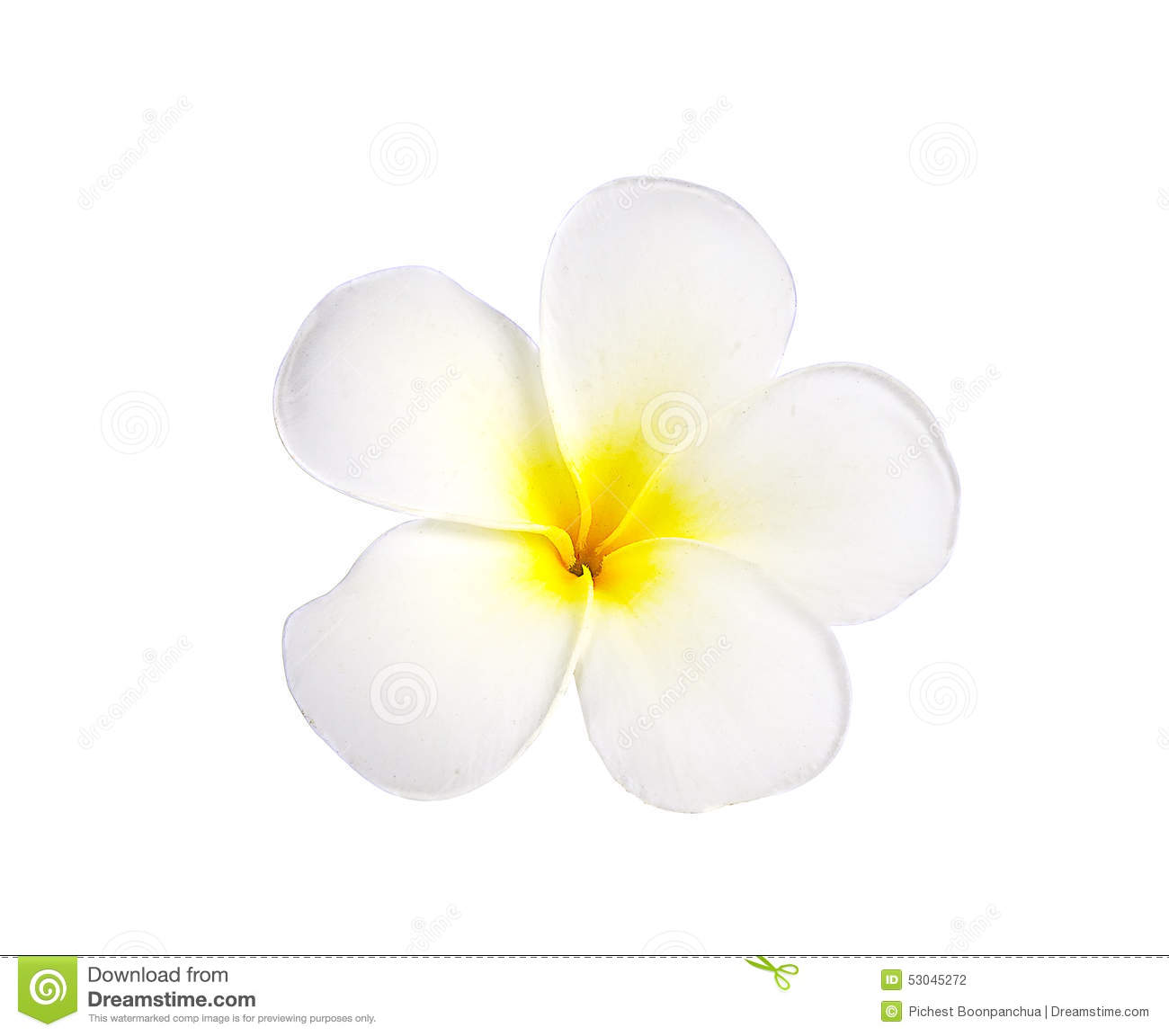 two plumeria flower  royalty
