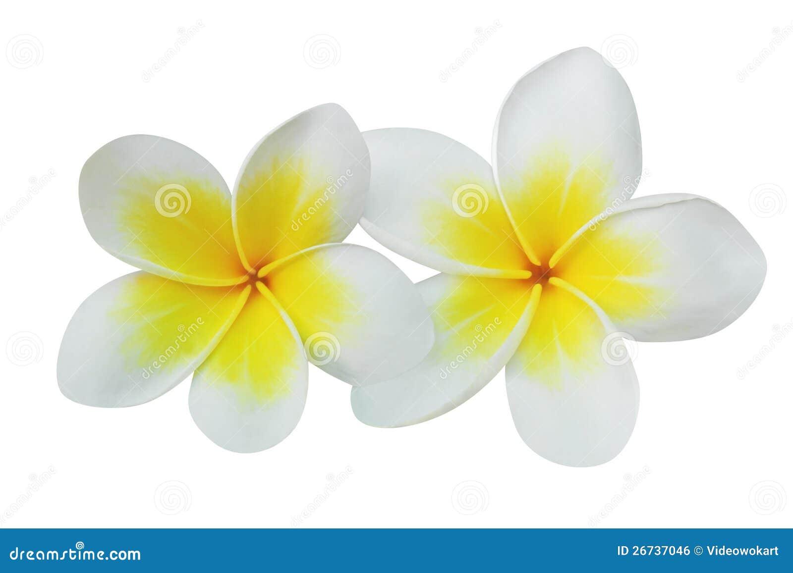 Frangipani Plumeria Flowers Isolated On White Royalty