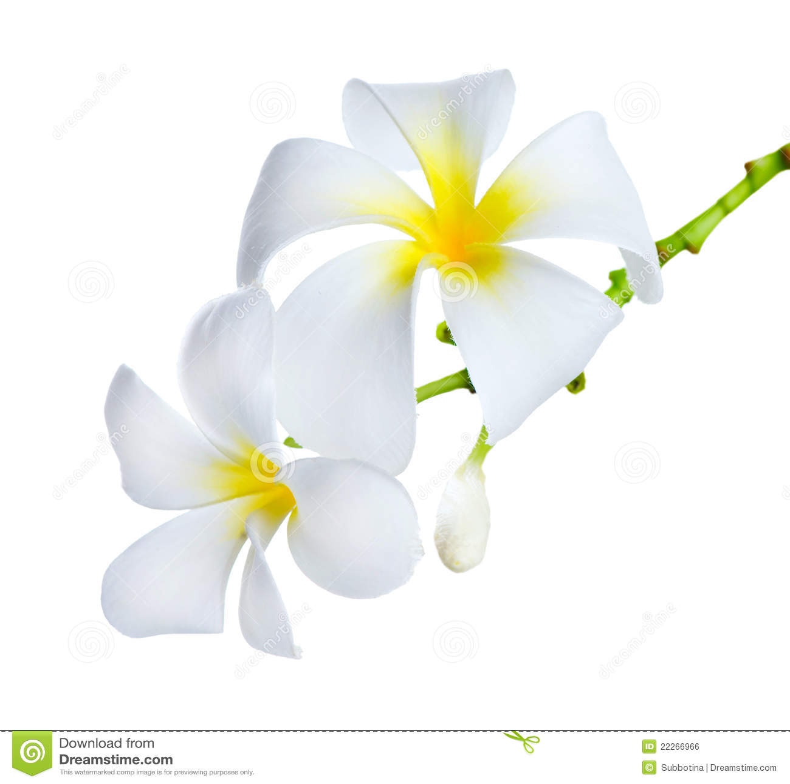 Frangipani spa flowers stock photo image 14654190 - Frangipani Spa Flowers Royalty Free Stock Image