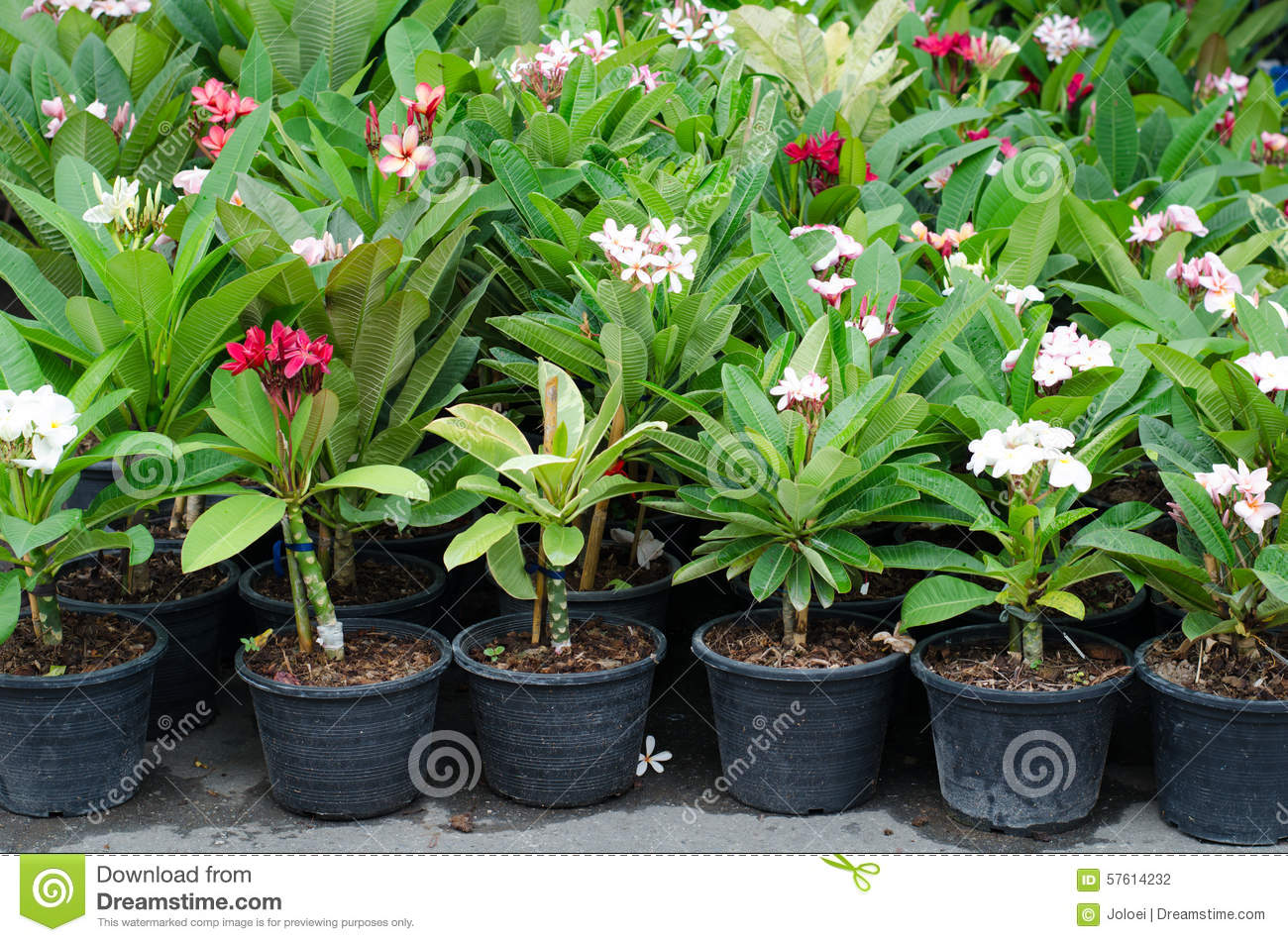 frangipani trees in pot stock photo image of cultivated 57614232
